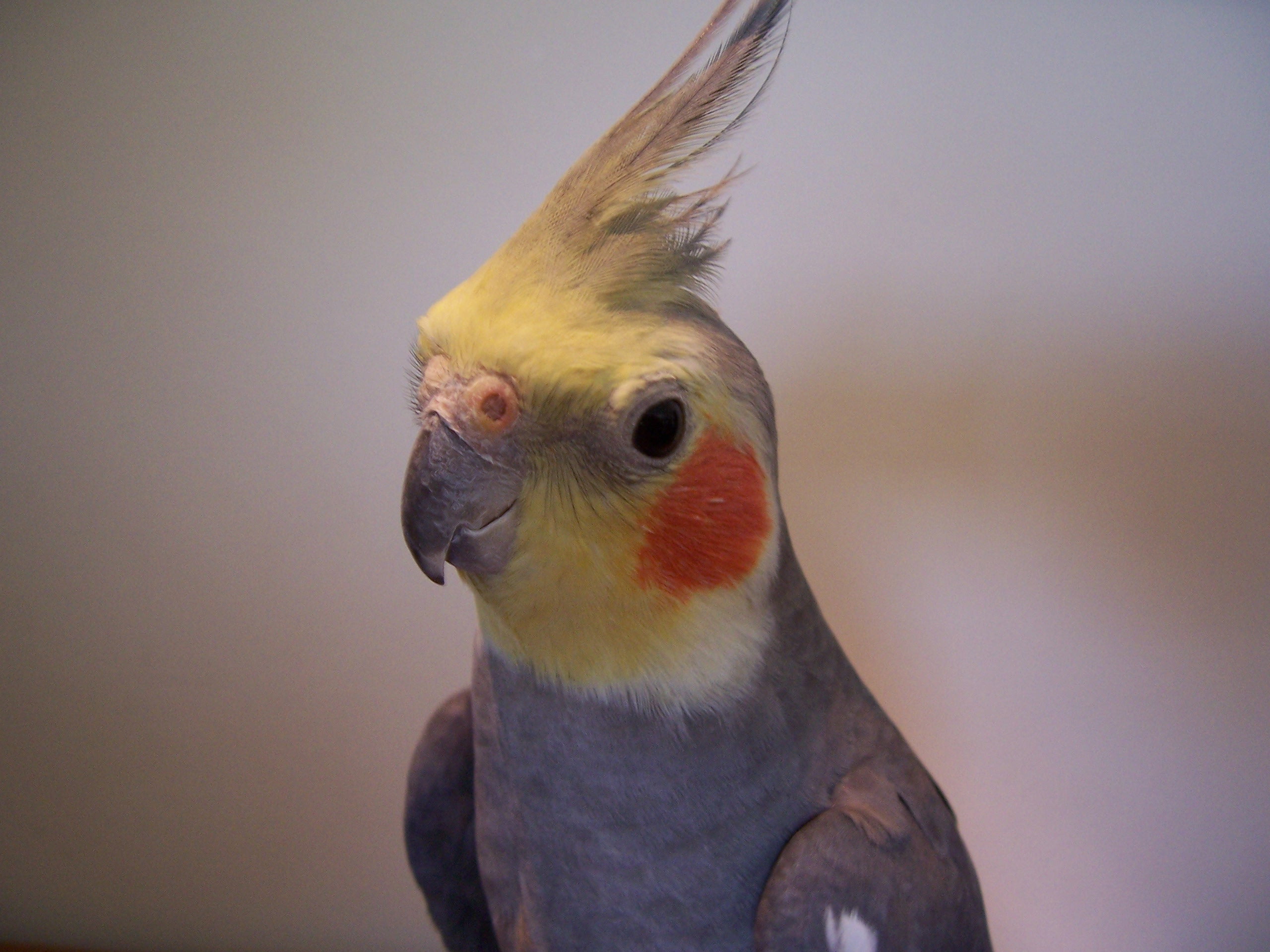 Why does my cockatiel masturbate? : Cockateil.net – cockateil training, photos, videos, food, health, toys, cages
