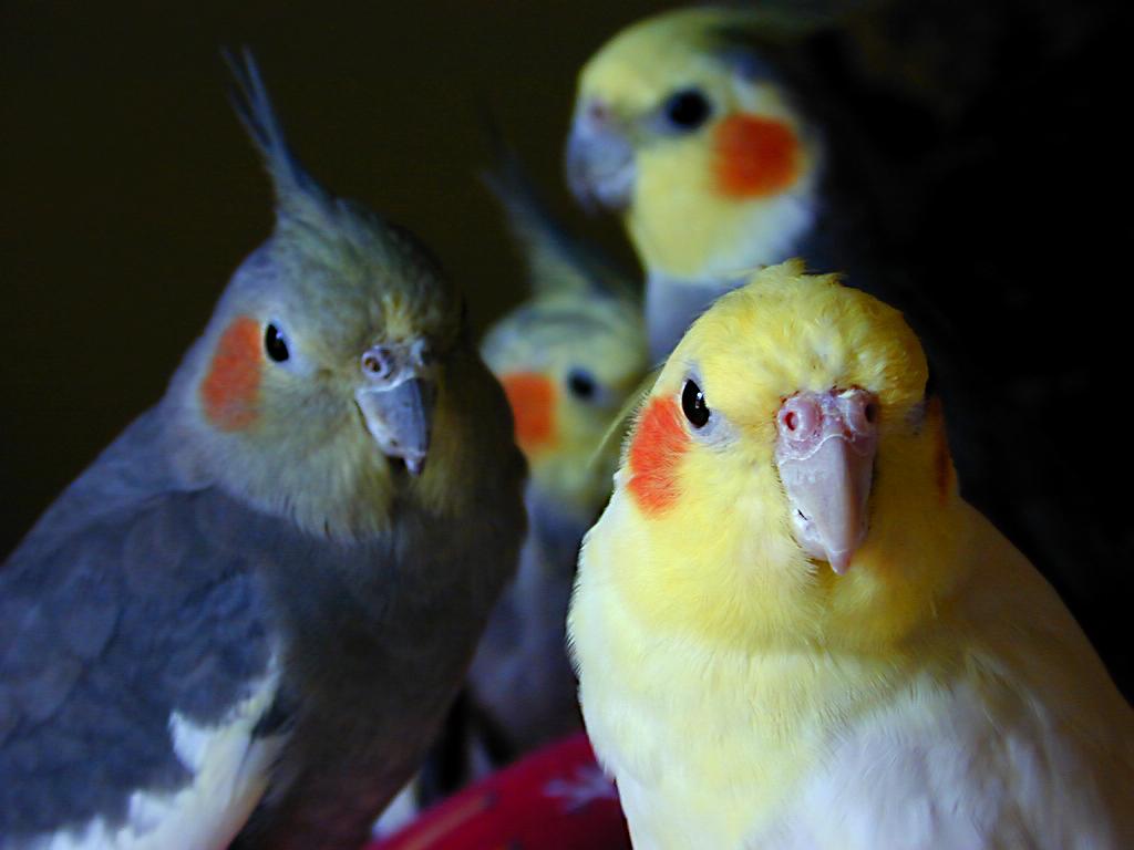 The Top 10 Best Pet Birds  Petcha