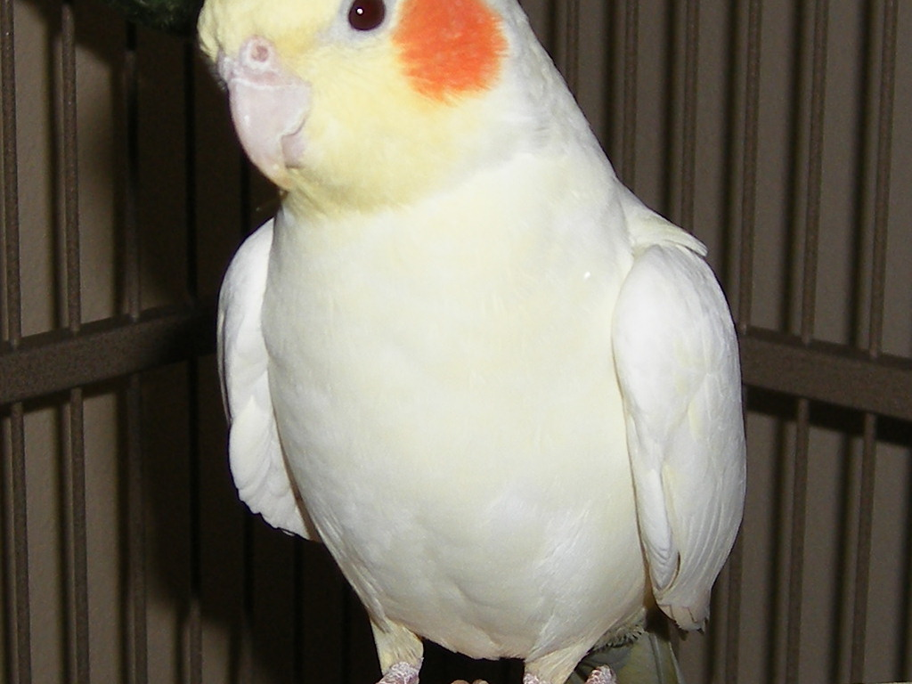 Lovely cockatiel Wallpaper