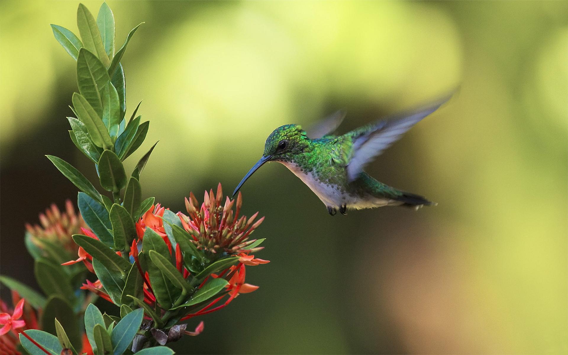 Colibri nectar