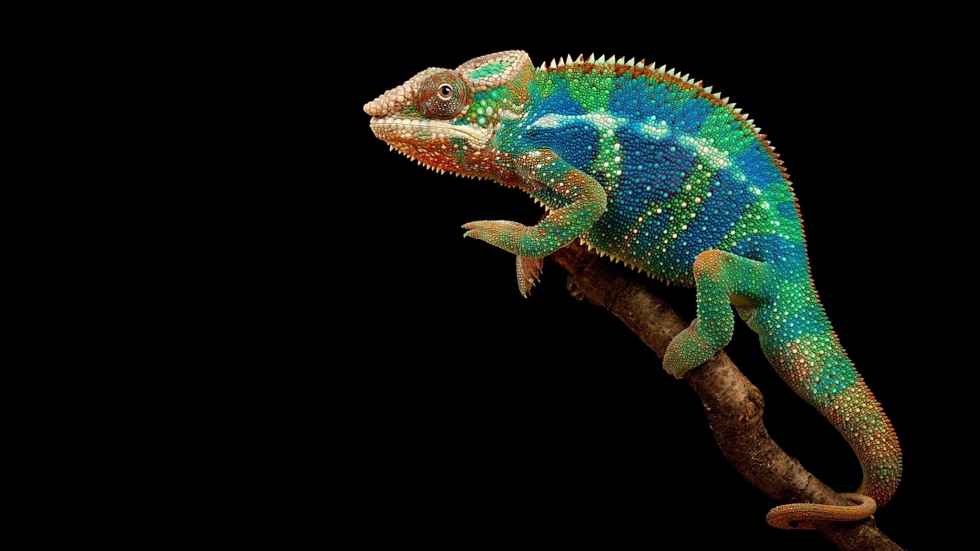 Colorful Chameleon Wallpaper