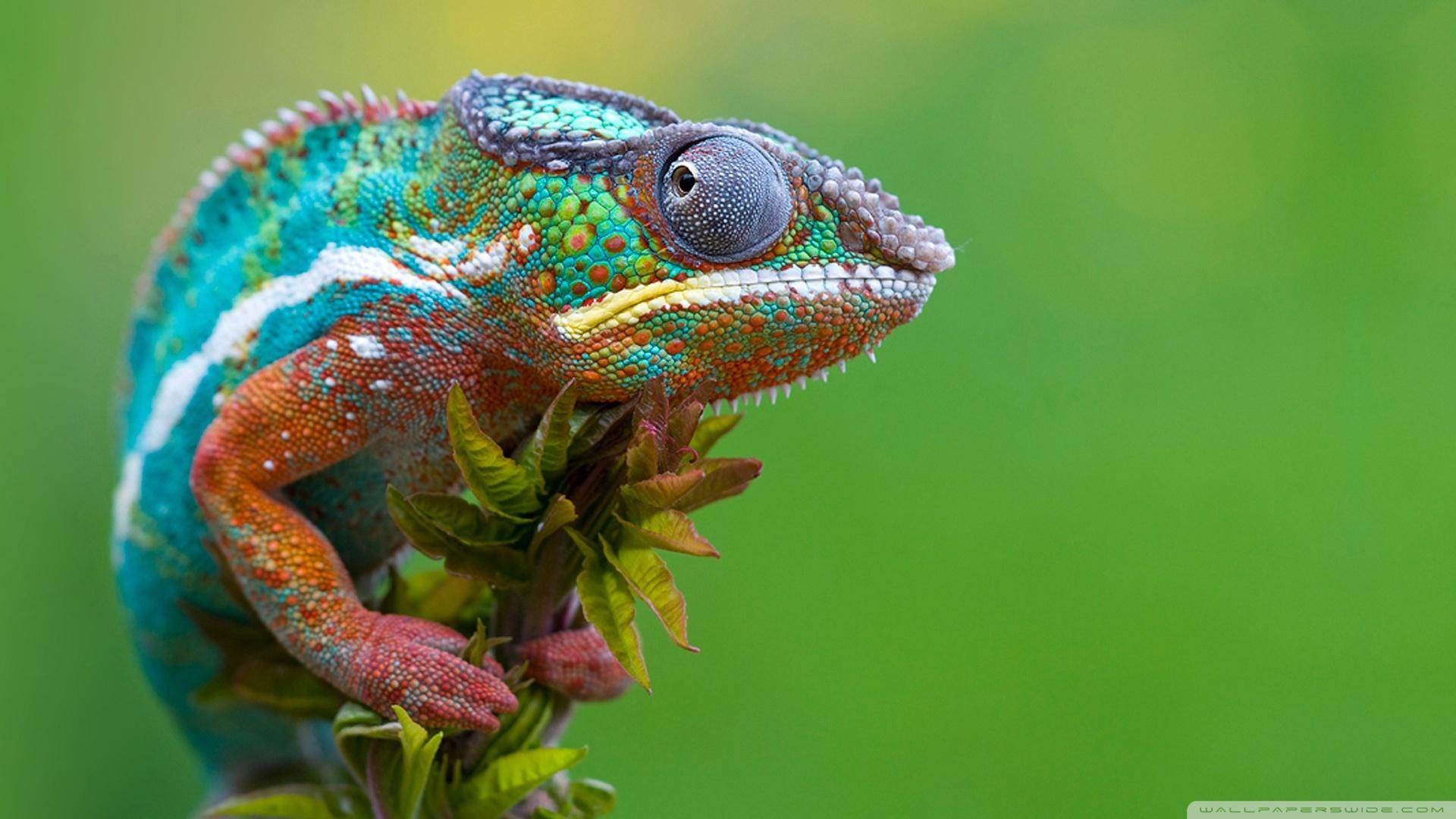 1920x1080 Colored Chameleon wallpaper