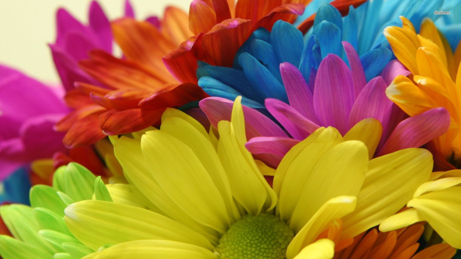 Colored Daisies Wallpaper Viewing Gallery 1920x1080px