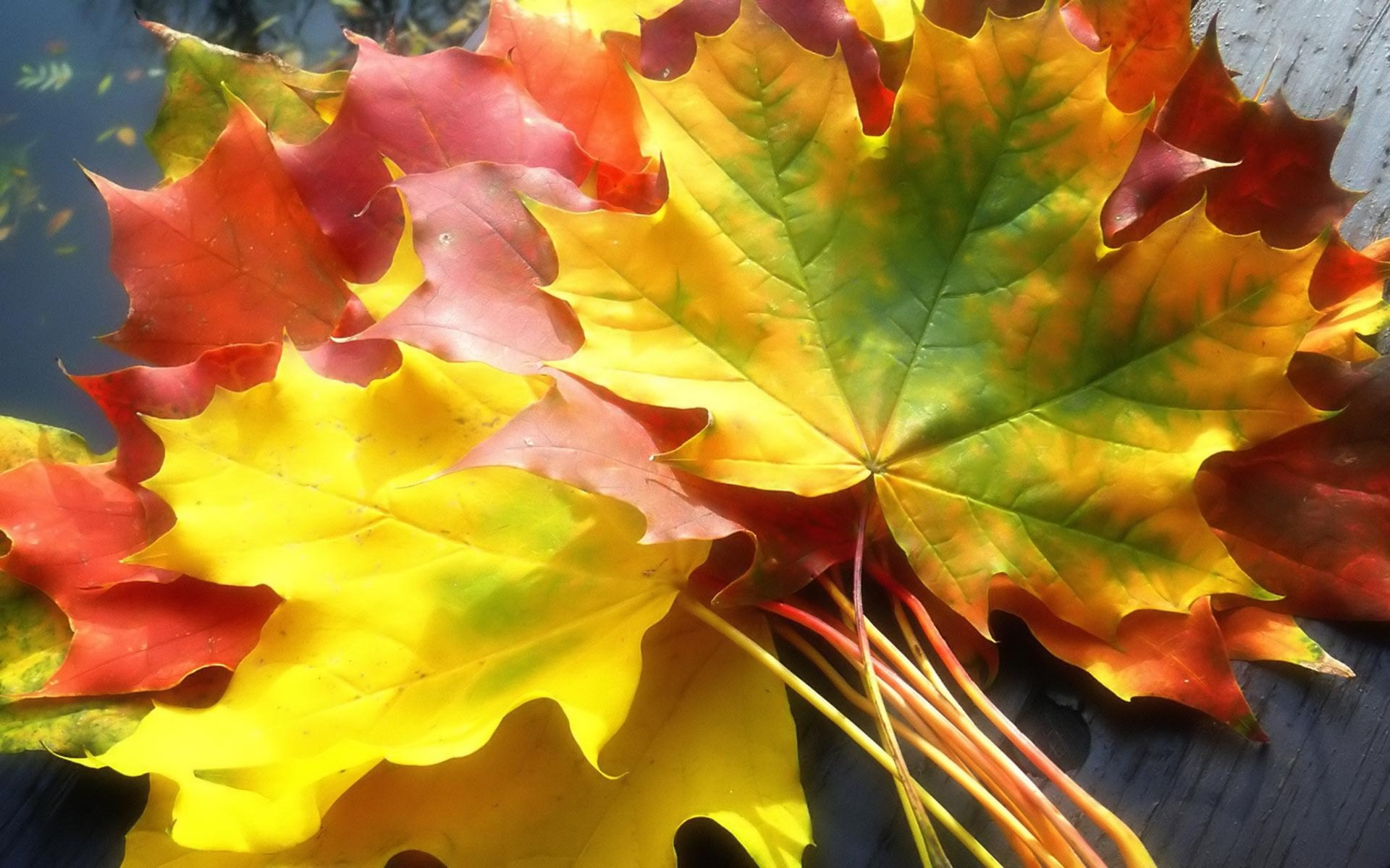 Download Colorful leaves 1440x900 Wallpaper · Download Colorful leaves 1680x1050 Wallpaper