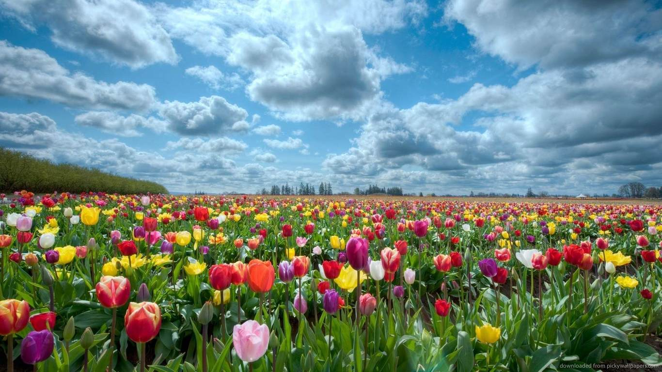 ... Colorful Tulip Field for 1366x768
