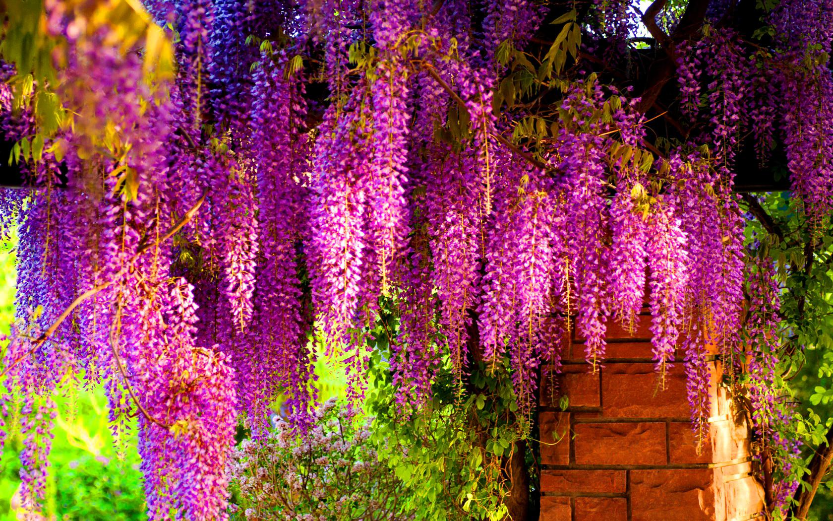Colorful Wisteria Wallpaper