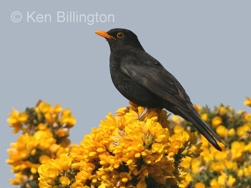 Common Blackbird (Turdus merula) (11)