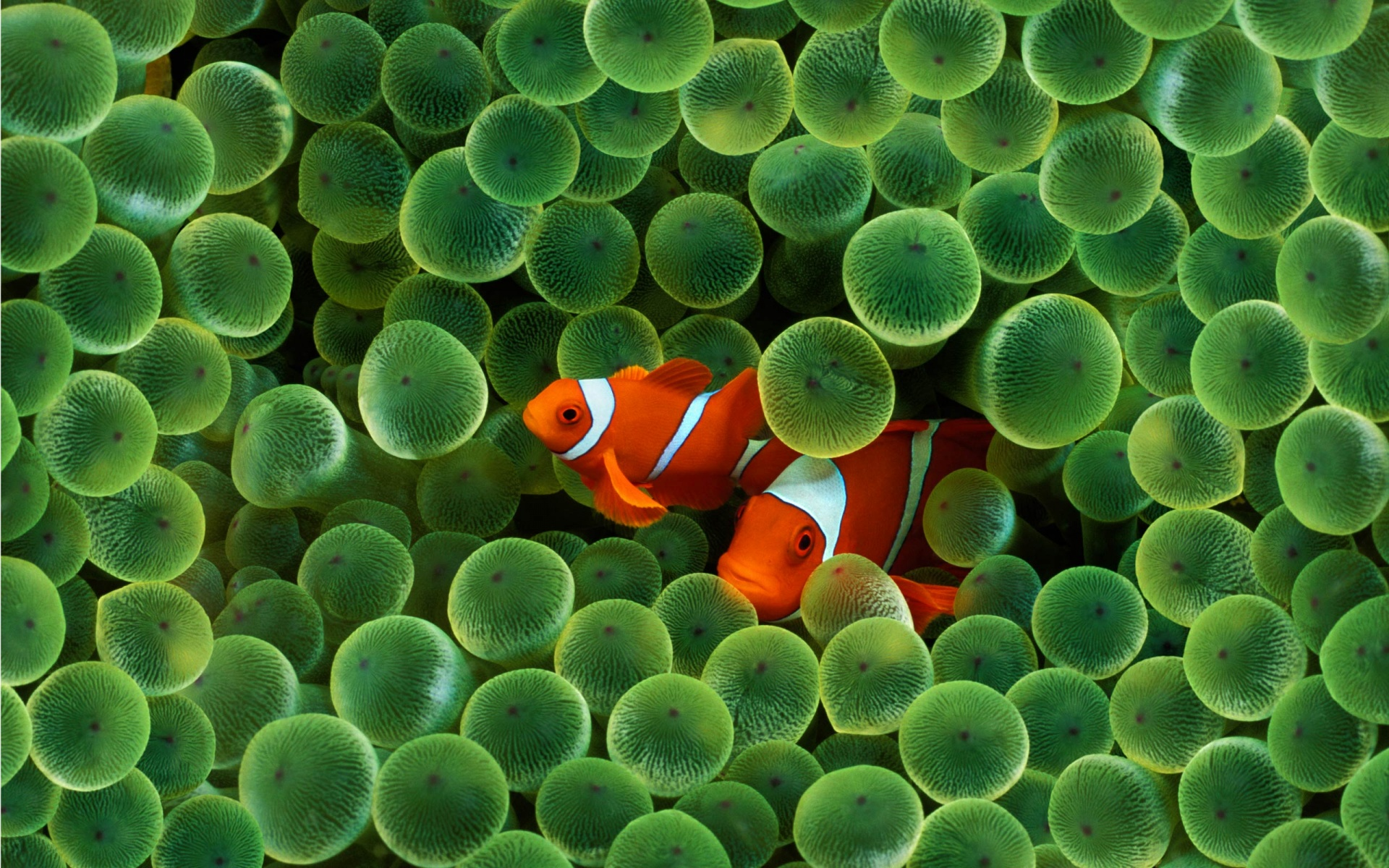 High Resolution Clown Fish Wallpaper