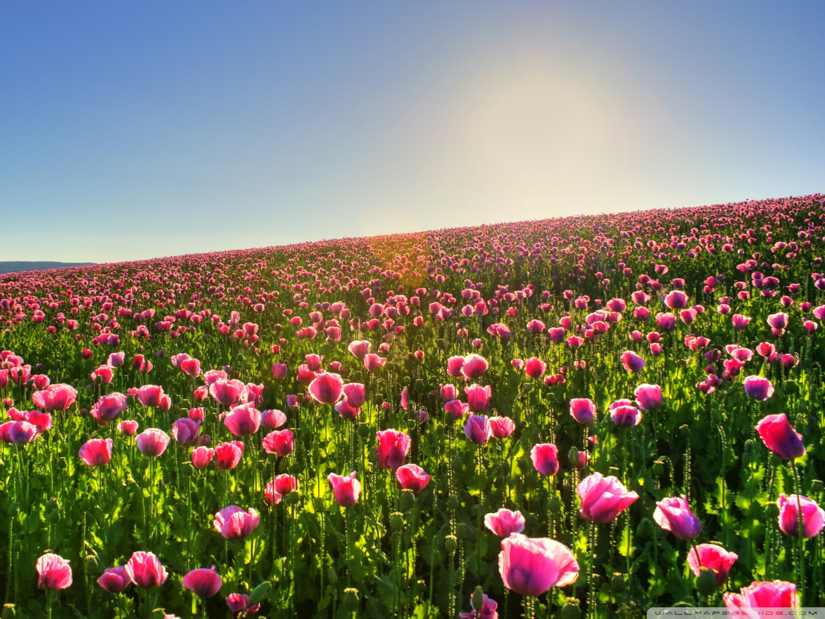 Cool Flower Field Wallpaper