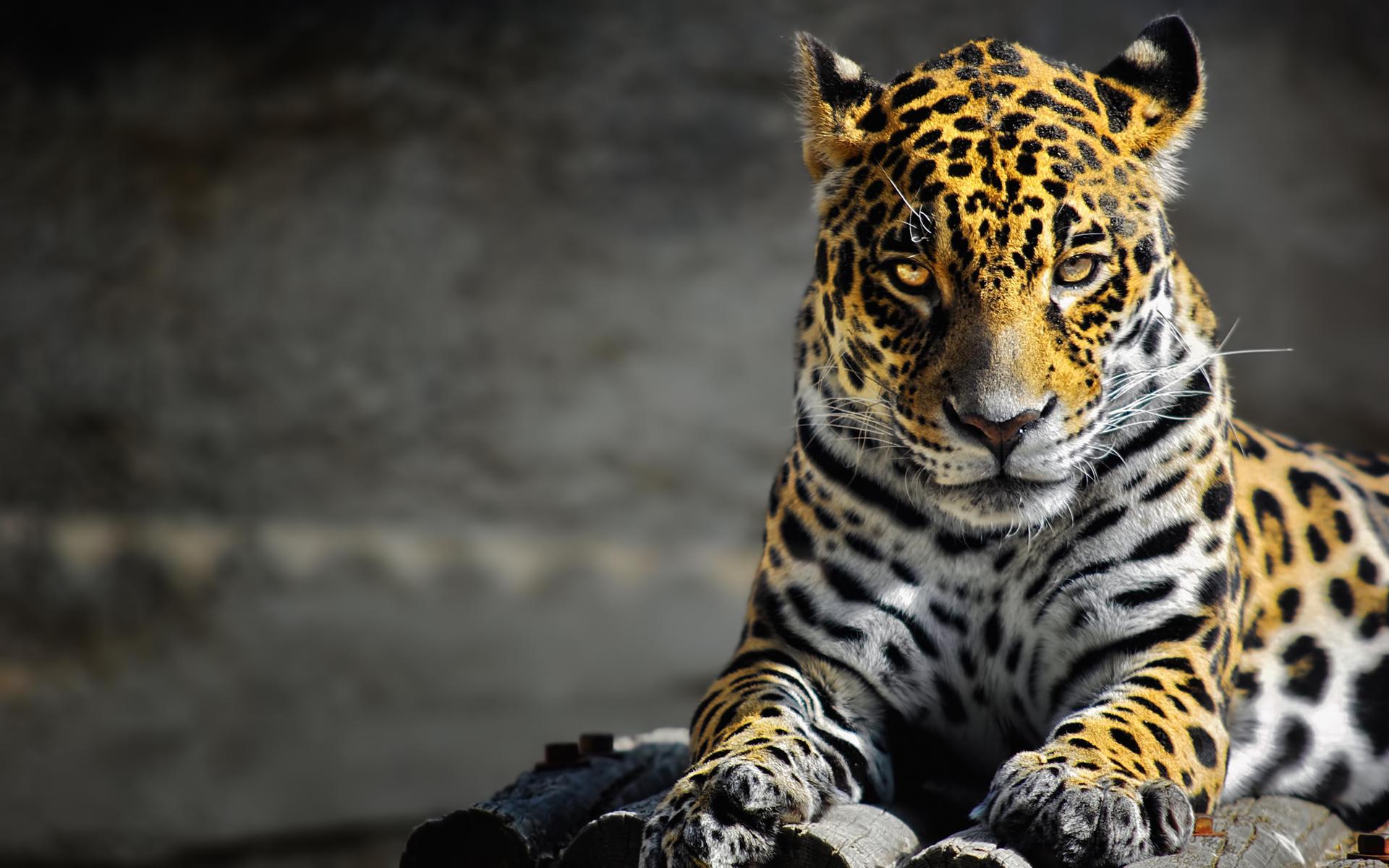 Cool Jaguar Wallpaper