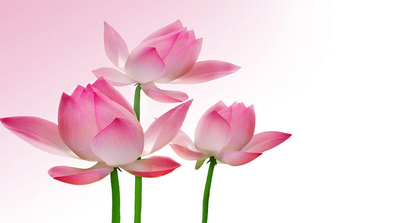 Cool Lotus Wallpaper 22587 1600x1200 px