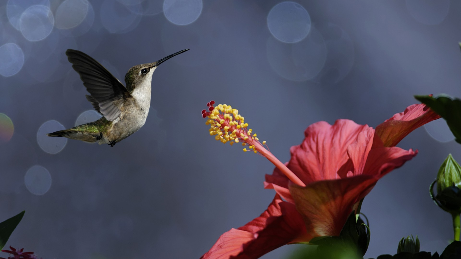 Iphone Flower Wallpaper: Nature Iphone Wallpaper Bird Hummingbird Flower 1920x1080px