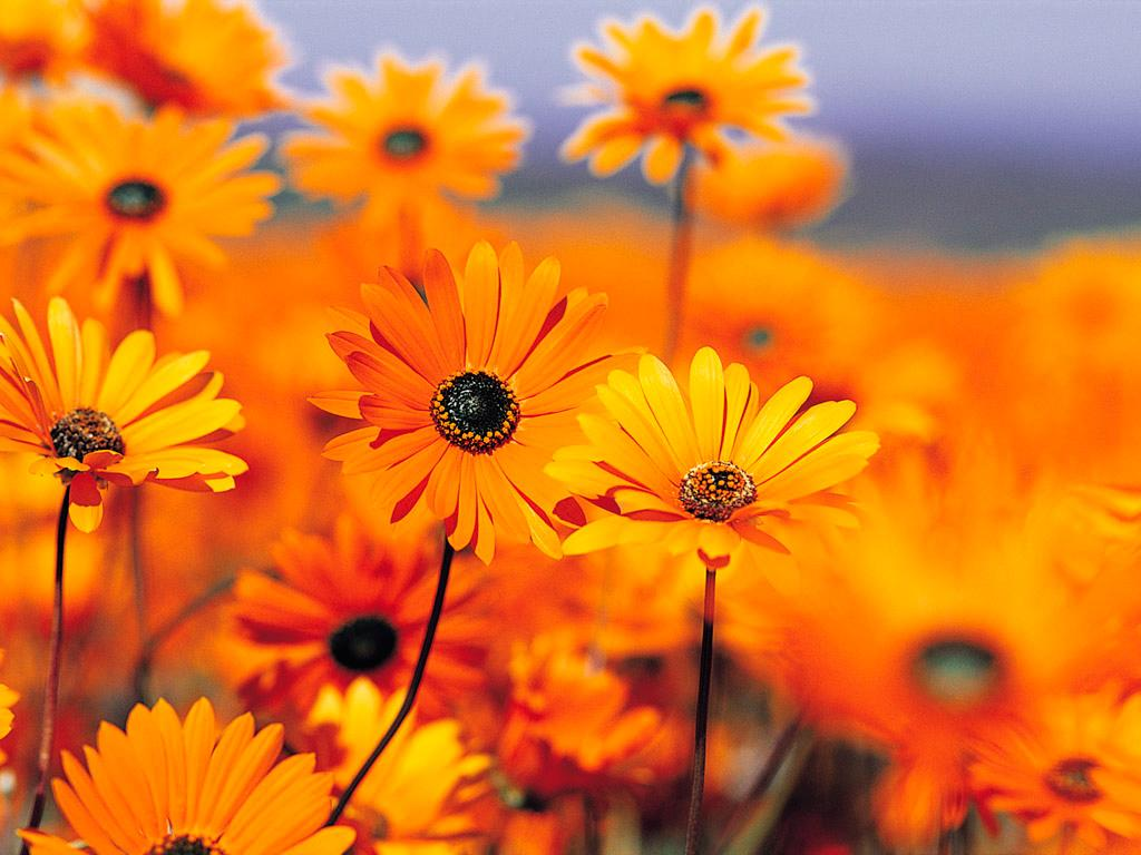 Cool Orange Flowers Wallpaper