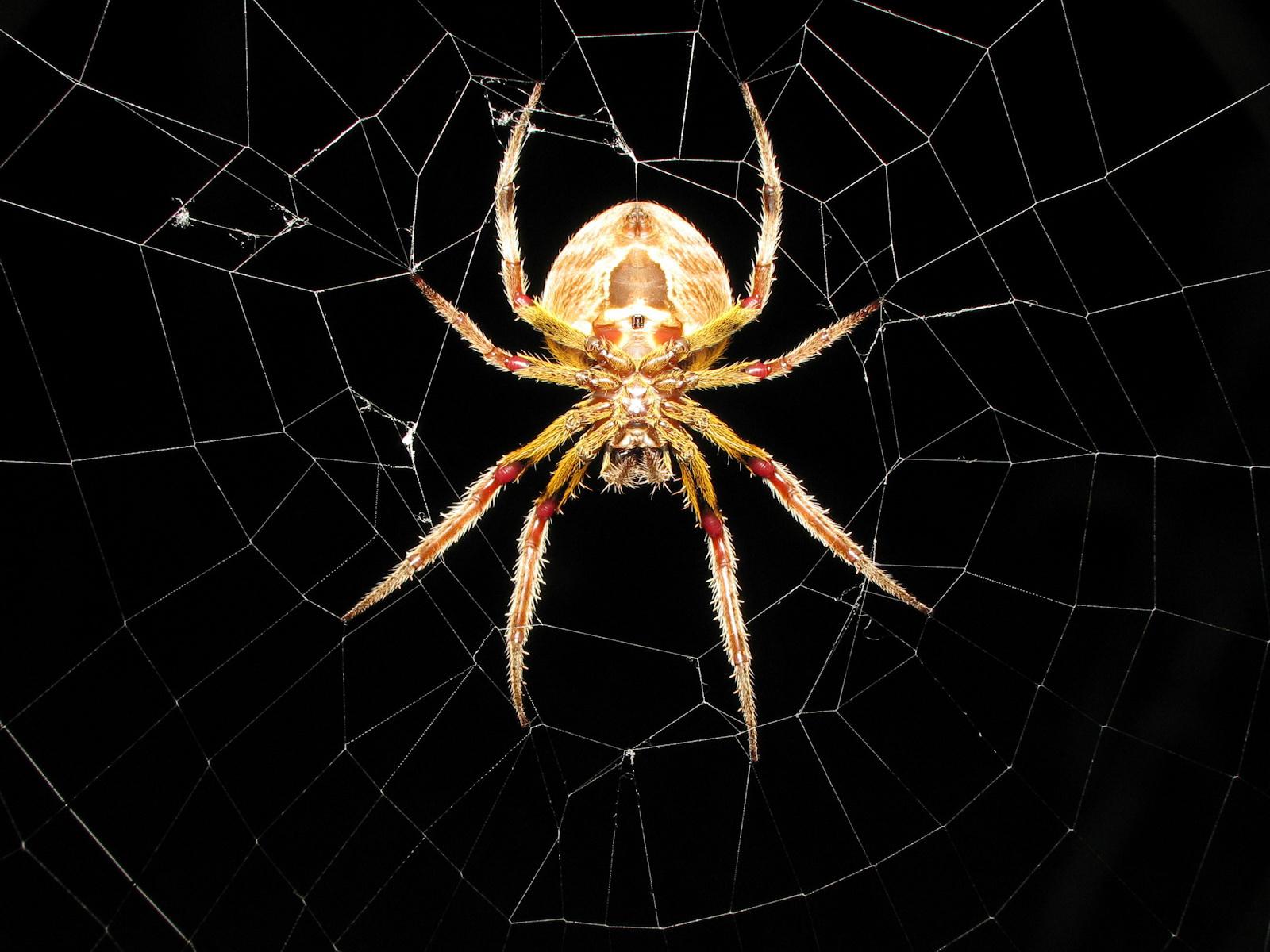 Cool Spider HD Wallpaper Desktop Download