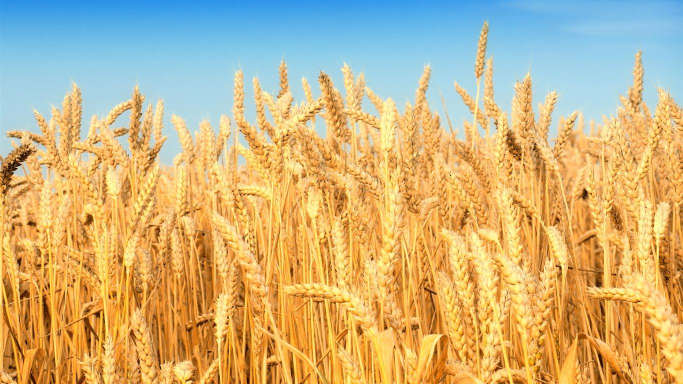 Cool Wheat Wallpaper 24055