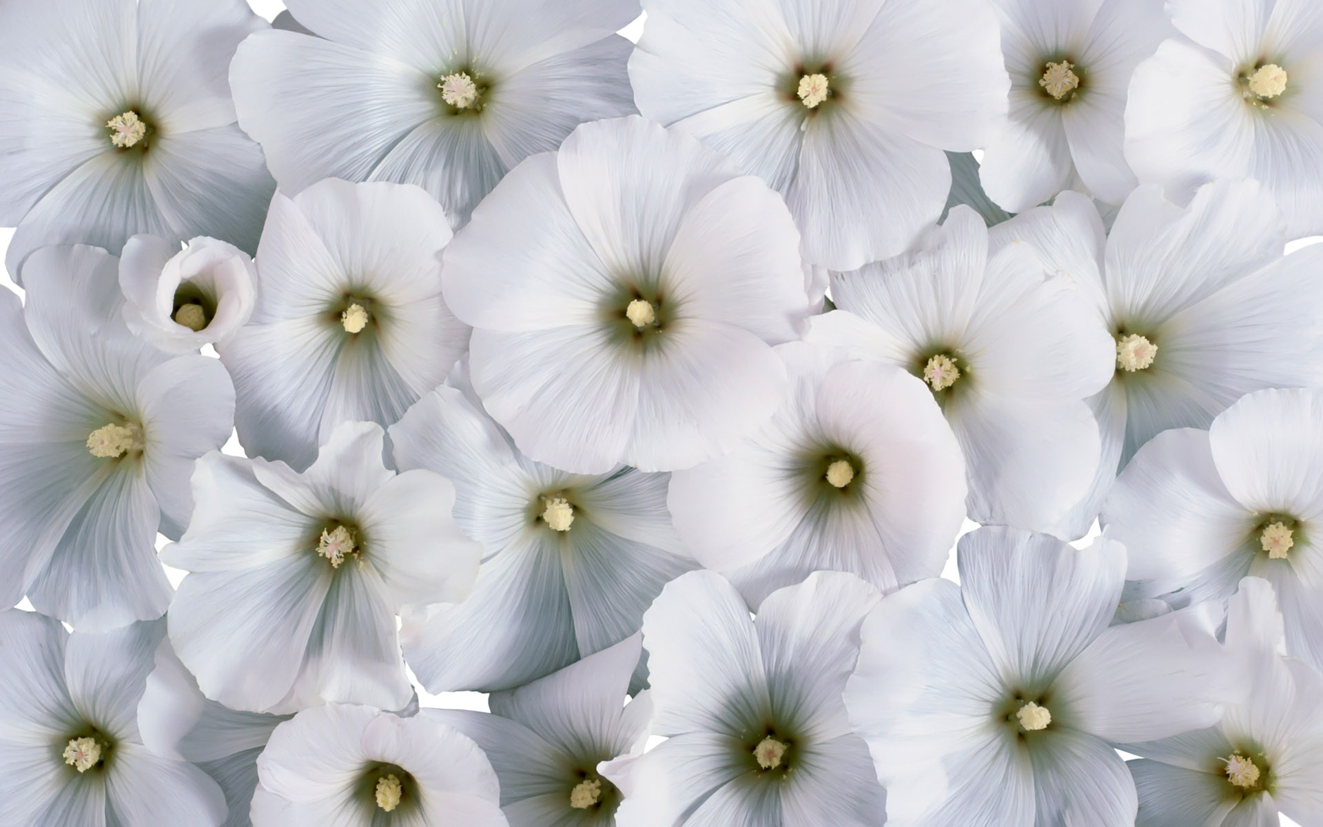 Cool White Flowers
