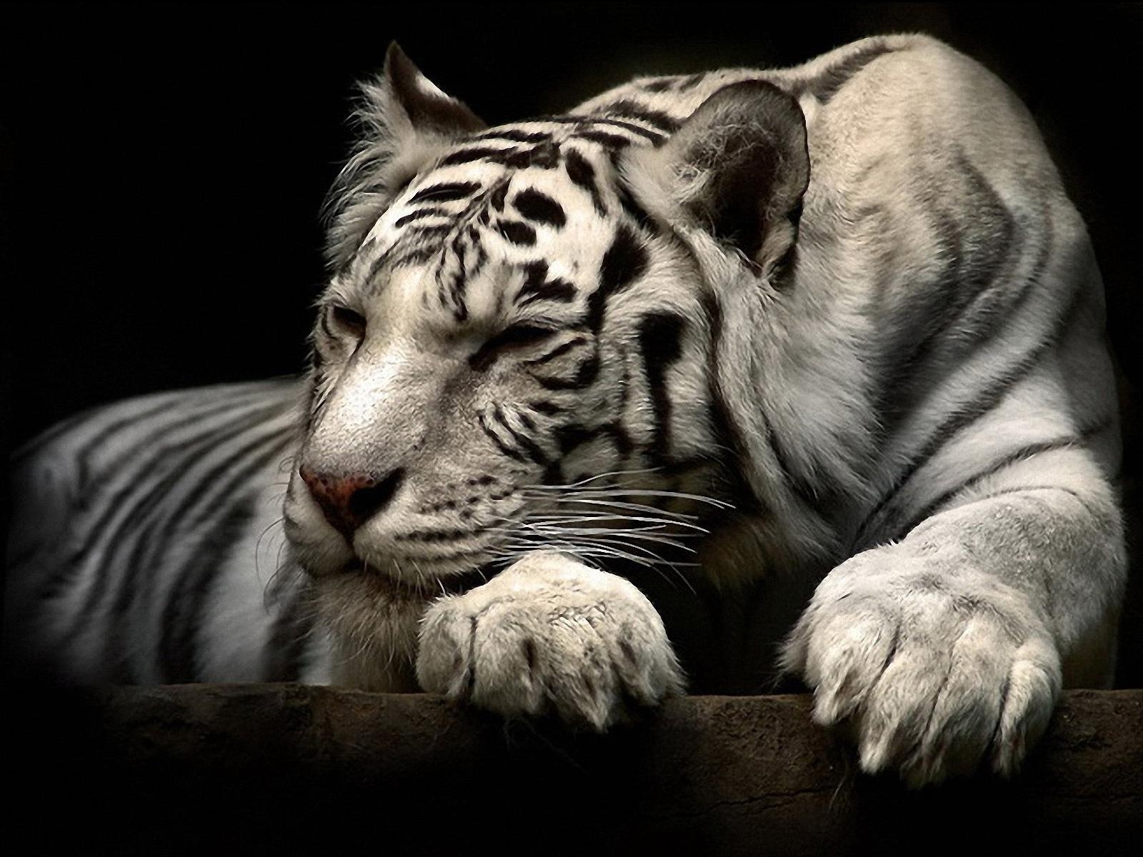 Cool White Tiger Wallpaper