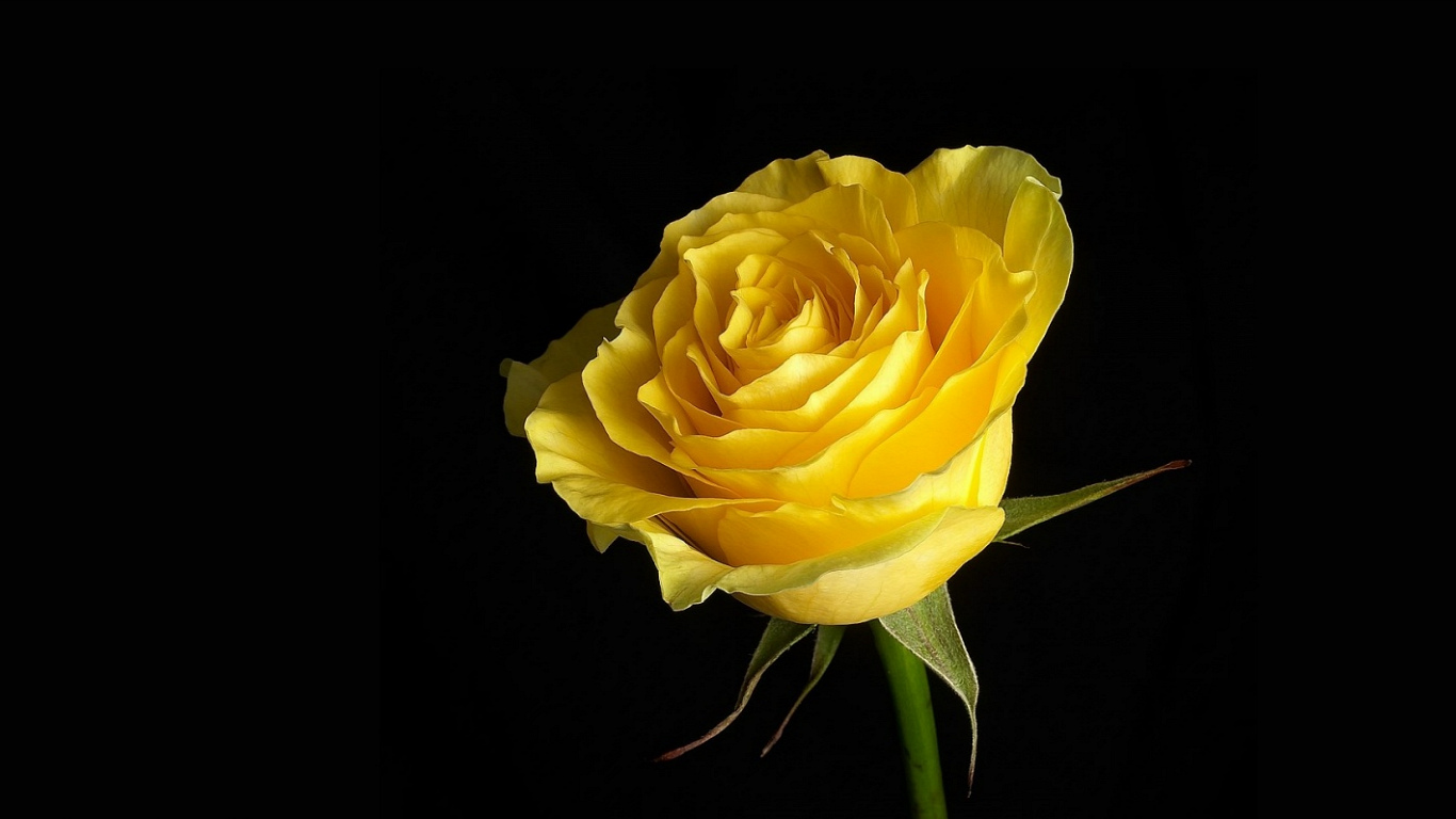 "Download the following Yellow Roses Picture 29671 by clicking the orange button positioned underneath the ""Download Wallpaper"" section."
