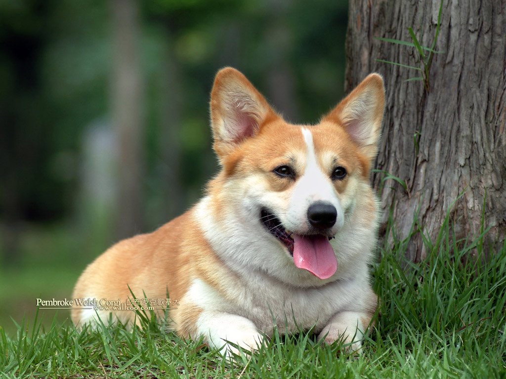 welsh-corgi-wallpapers