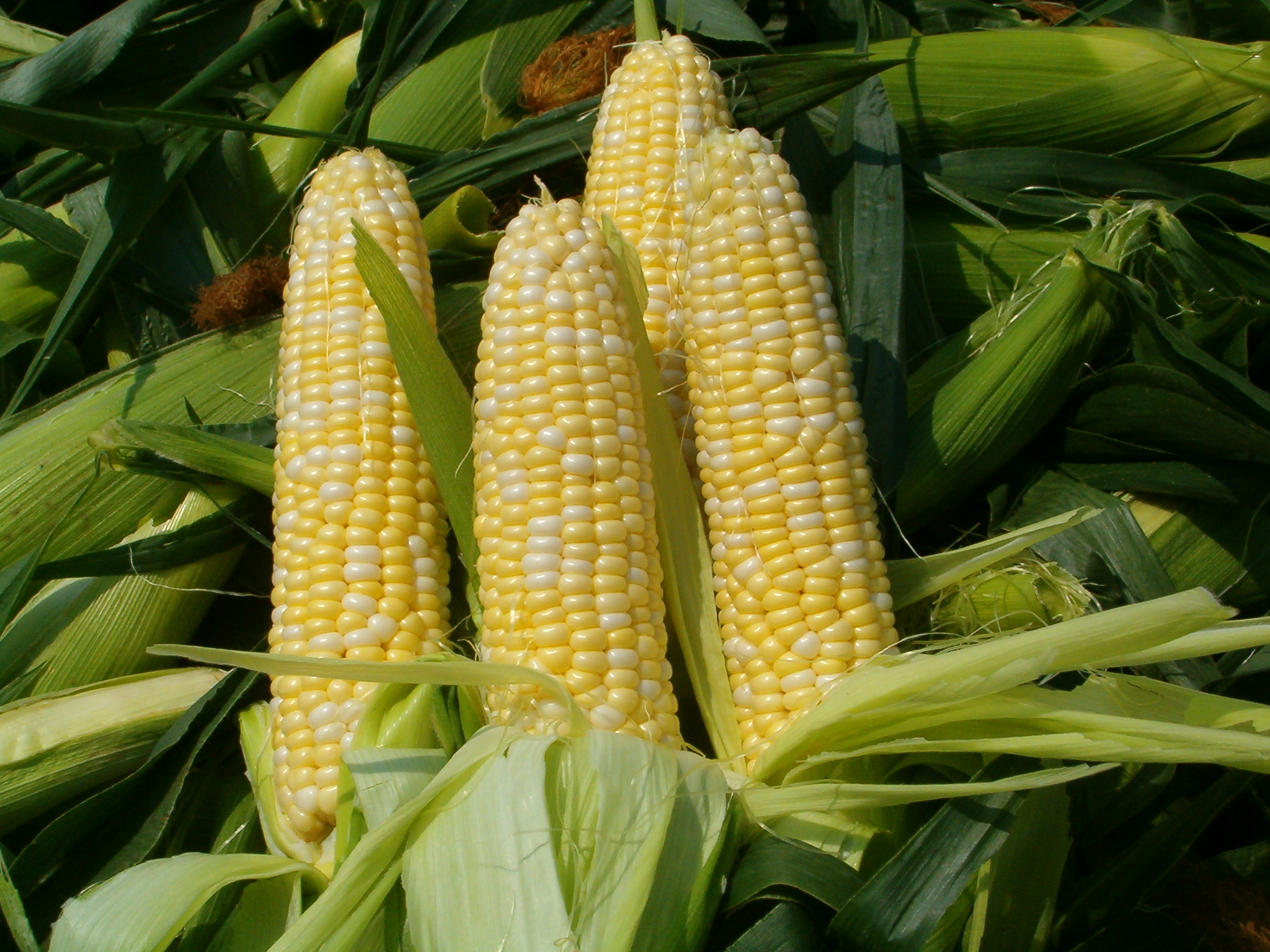 Sweet Corn - Fresh picked!
