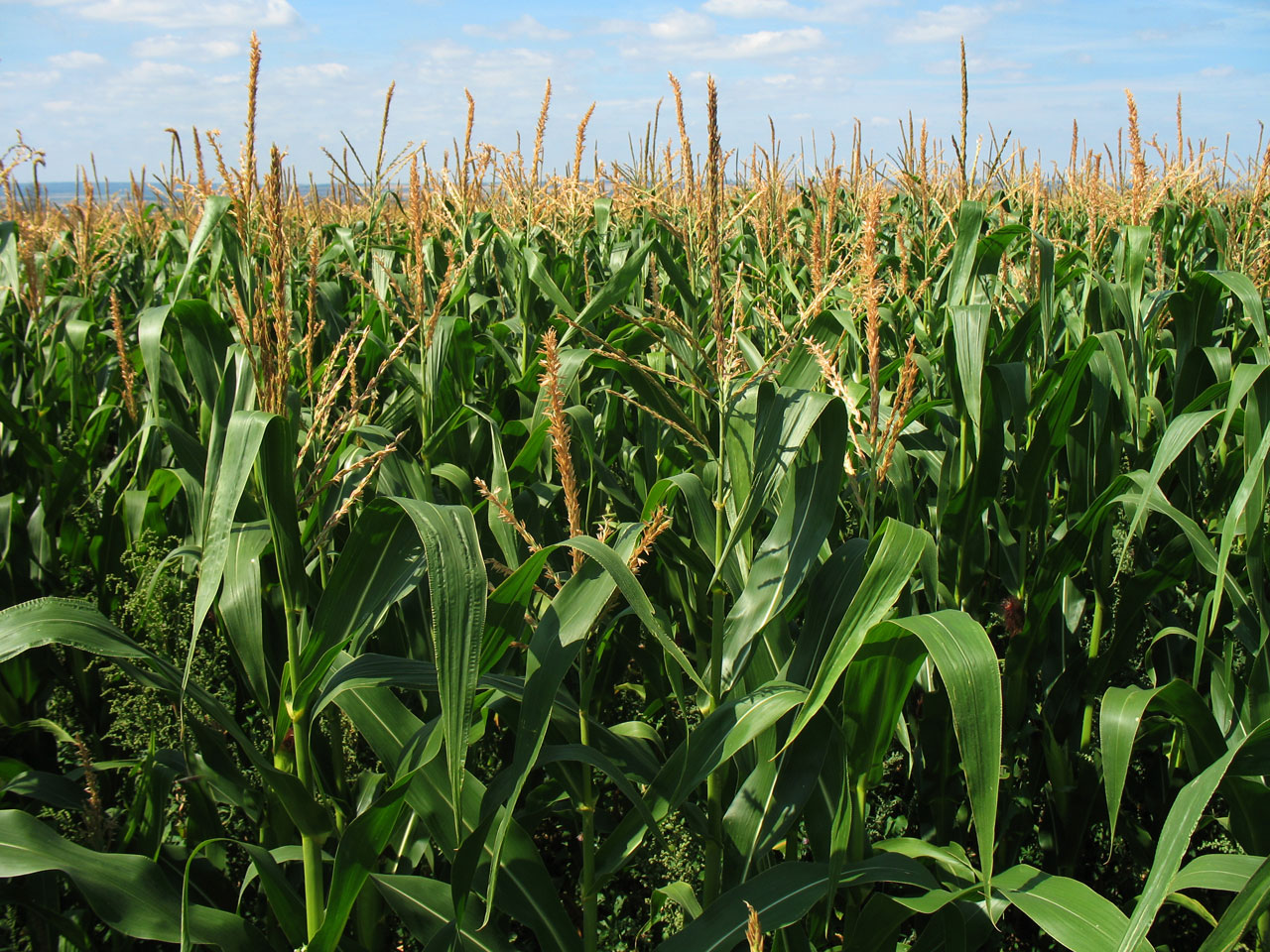 Corn Pictures