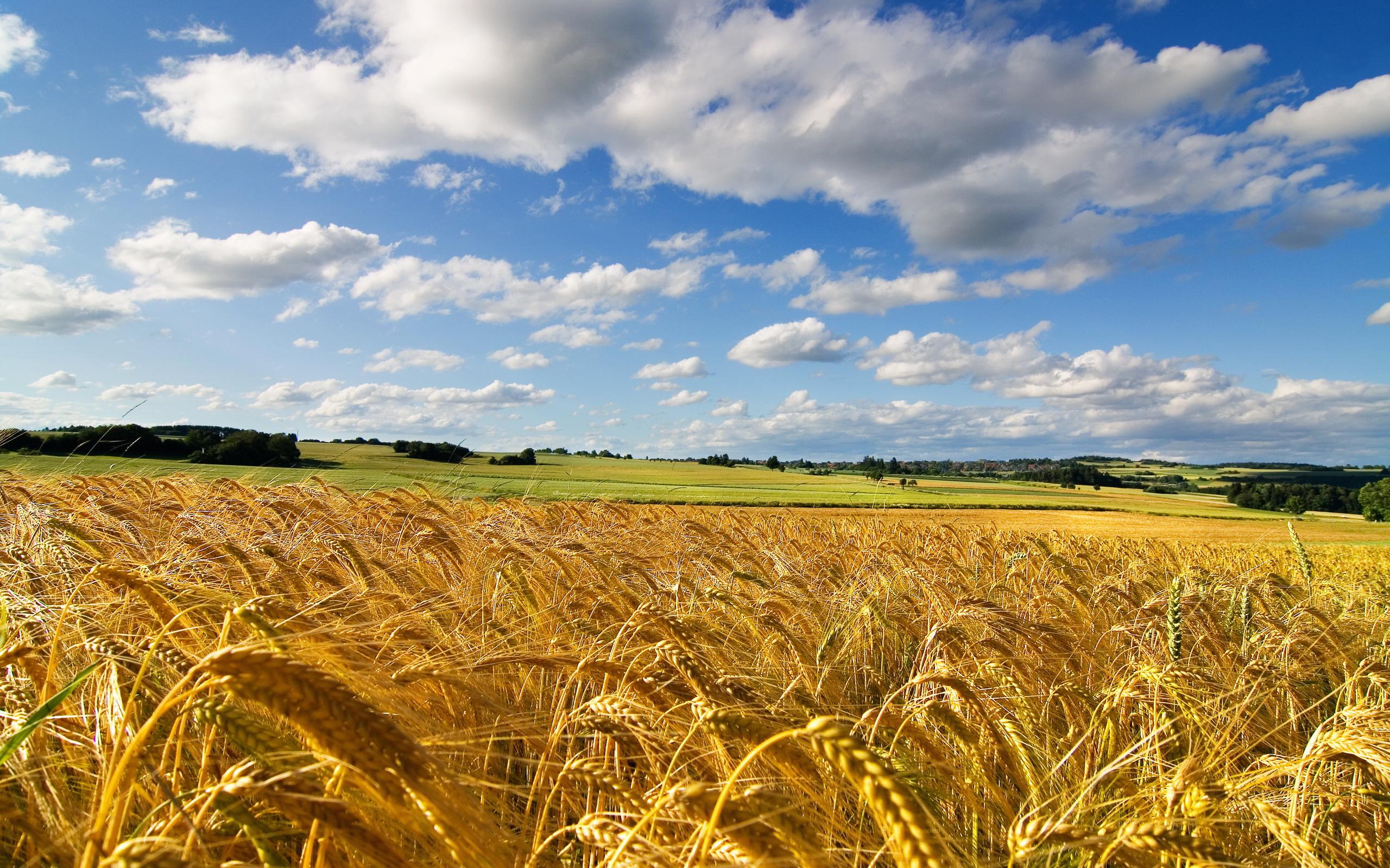 Cornfield summer