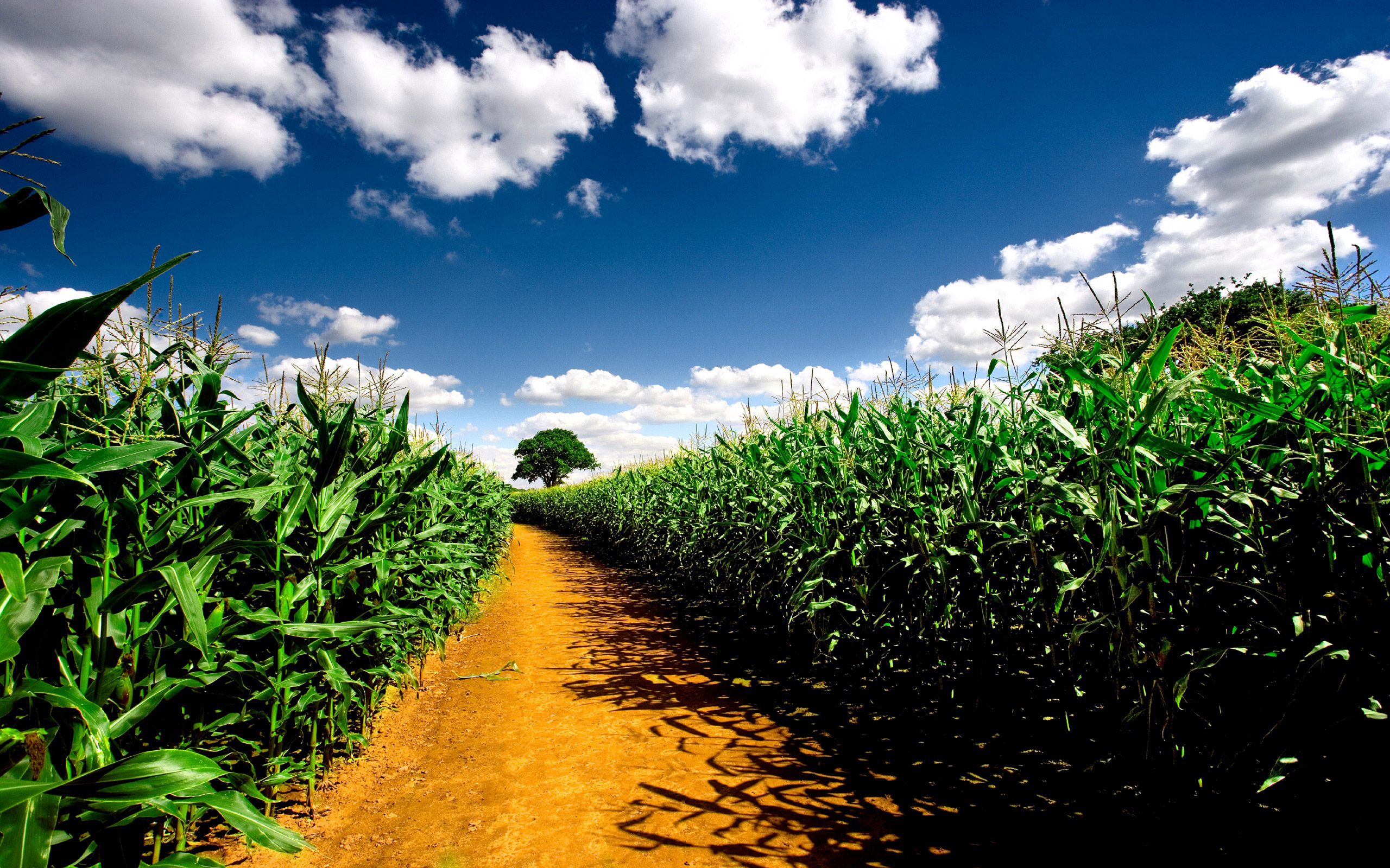 "Download the following Free Cornfield Wallpaper 21313 by clicking the orange button positioned underneath the ""Download Wallpaper"" section."
