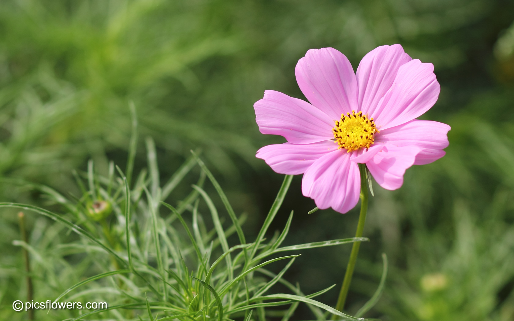 Cosmos pictures, Cosmos flower pictures