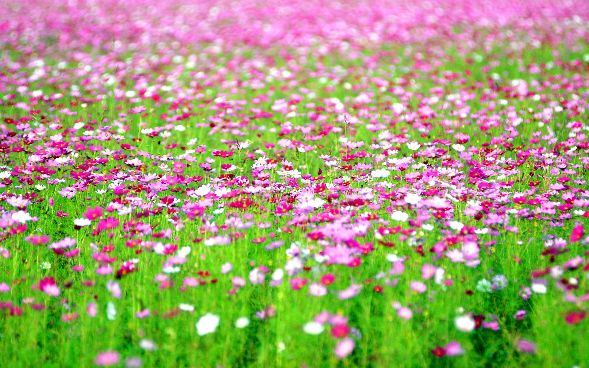 Cosmos flowers field