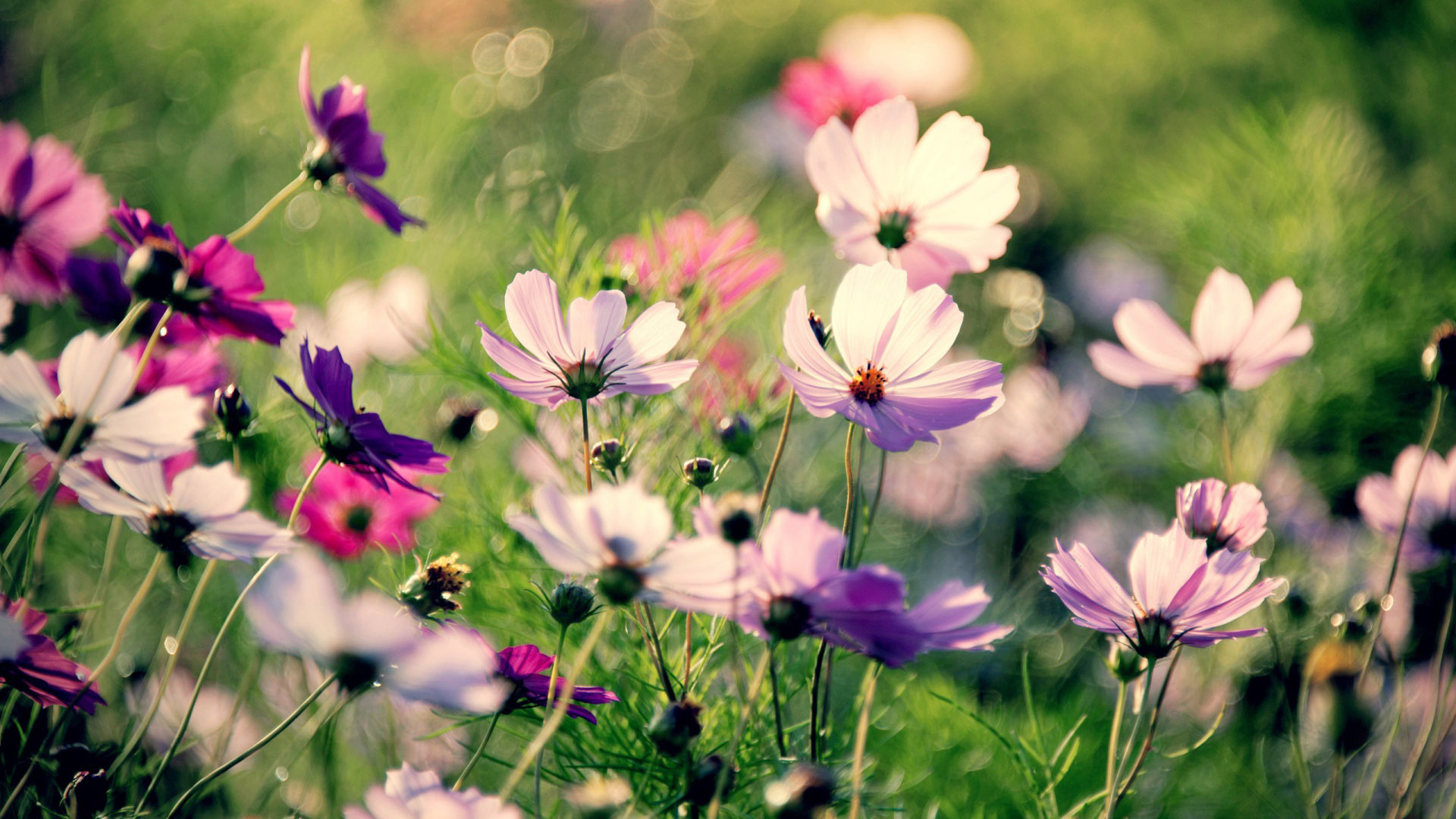 Pink cosmos flowers wallpaper