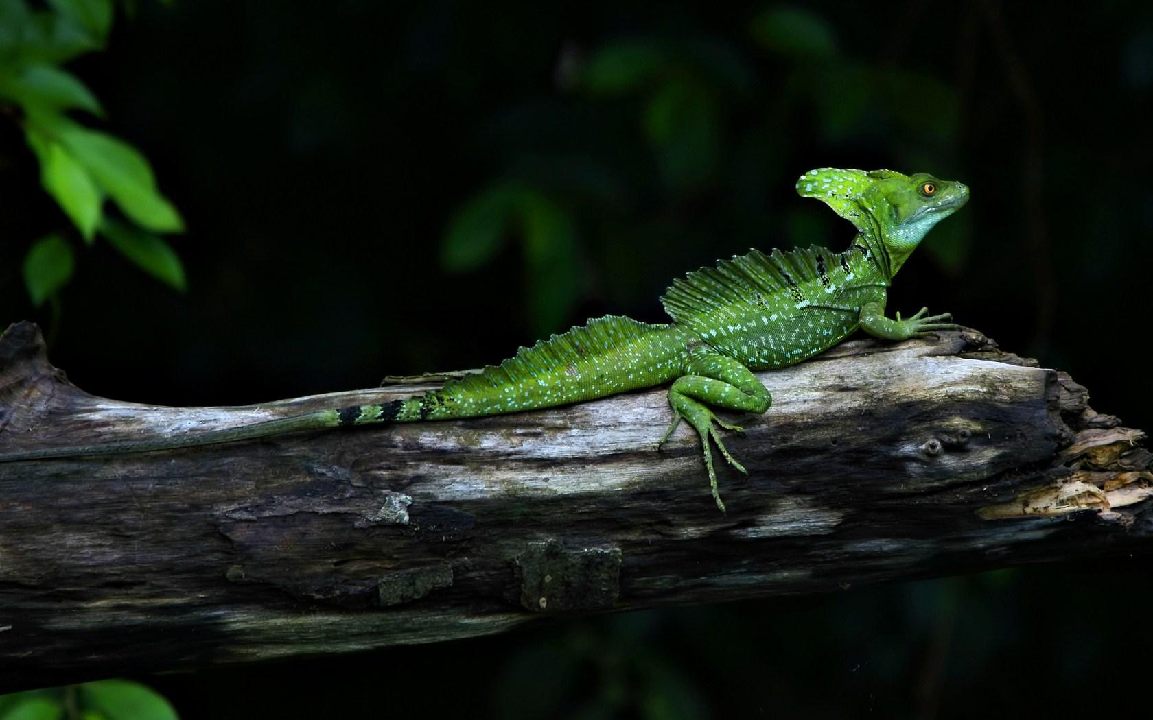 Costa Rica Green Basilisk Lizard Tree Photo HD Wallpaper