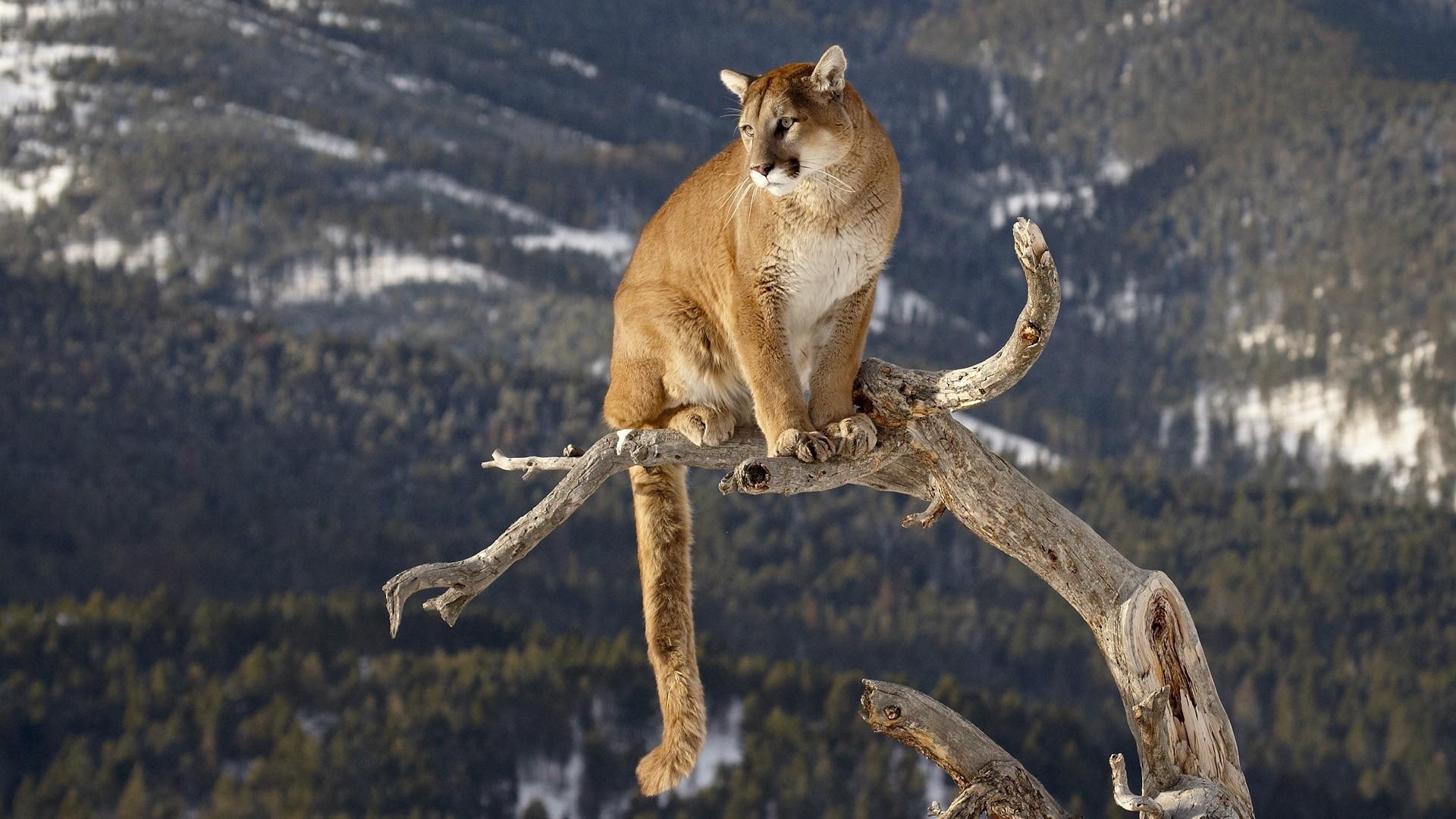 HD Wallpaper   Background ID:377116. 1920x1080 Animal Cougar