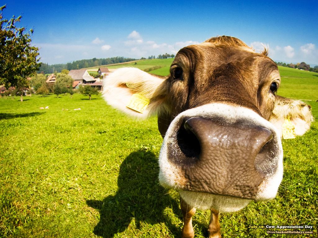 ... Cow Wallpaper 04 ...