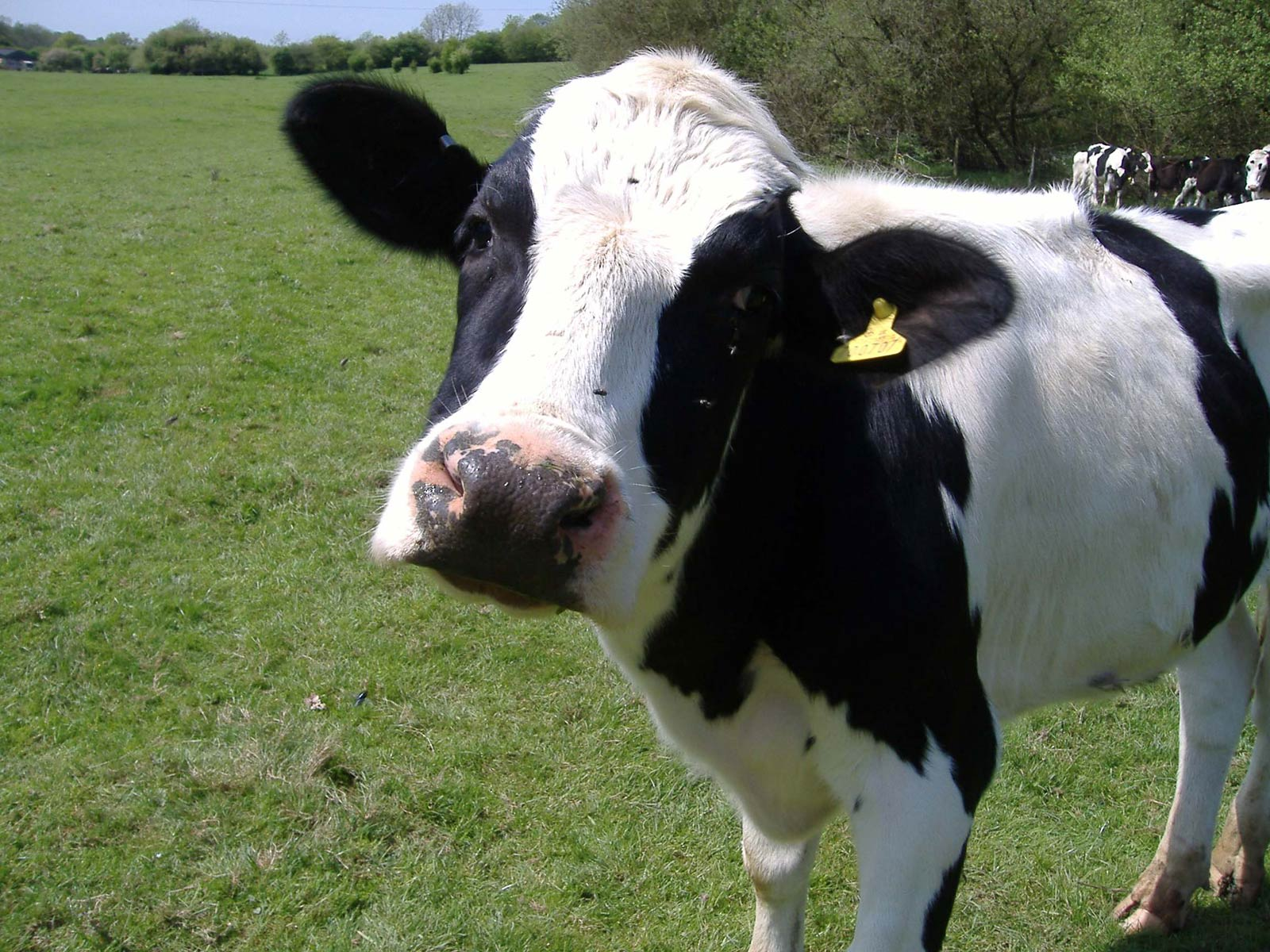 free Cow wallpaper wallpapers download