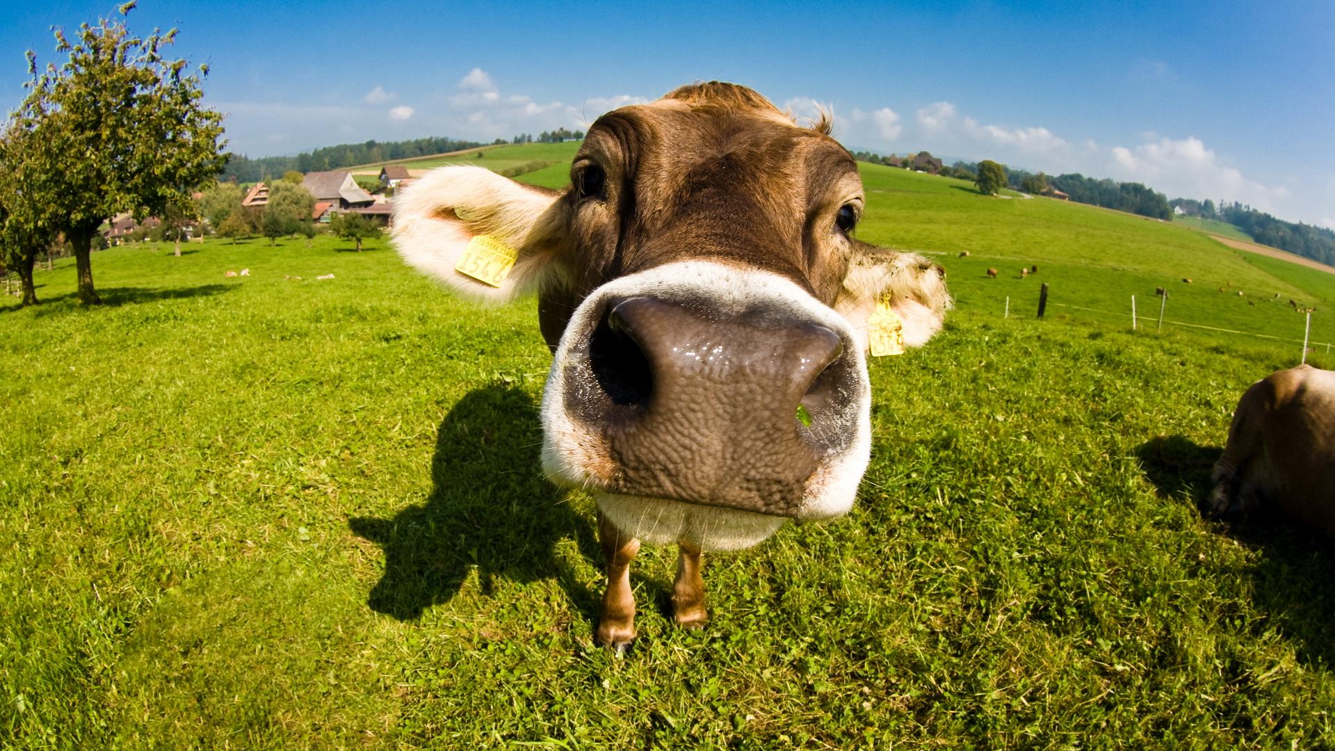 Cow Close Up Wallpaper 22330