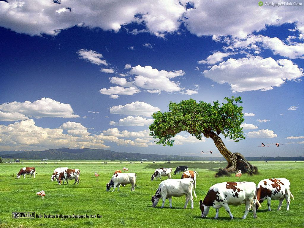 Cow Wallpaper
