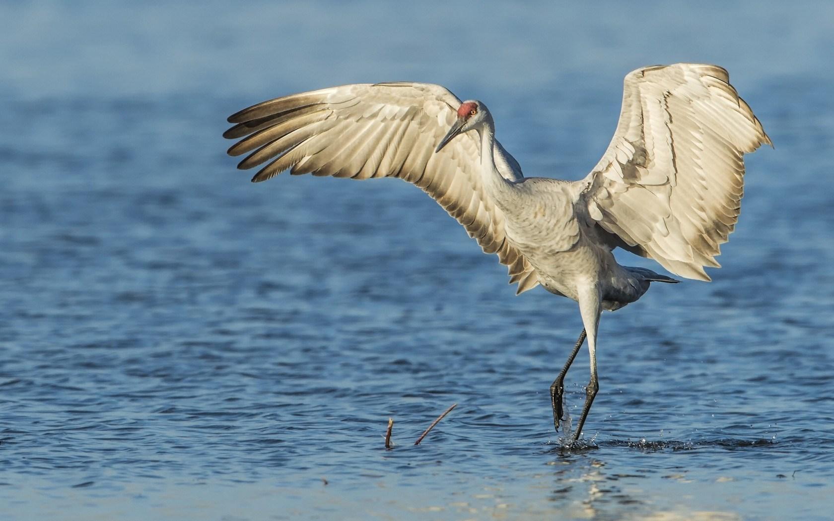 Sandhill Crane Bird Water