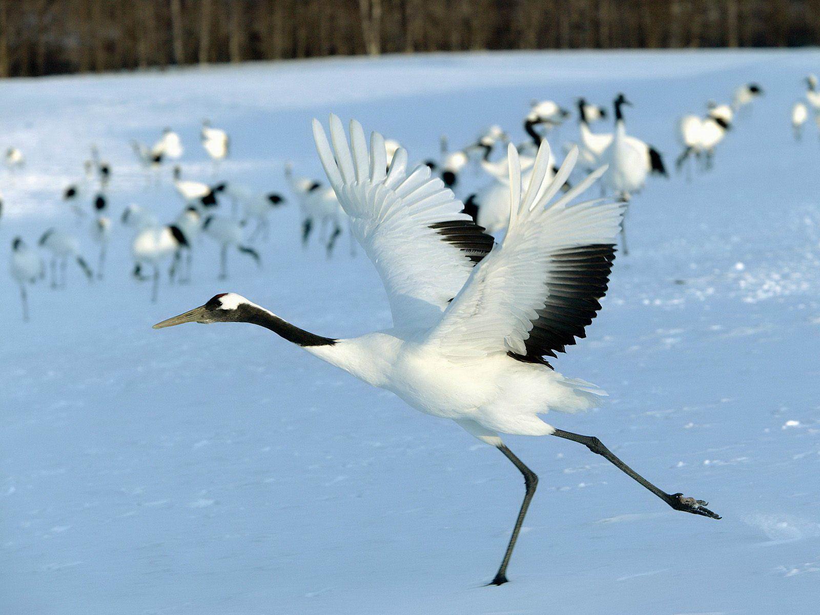 Crane Bird Wallpaper 38440 1680x1050 px