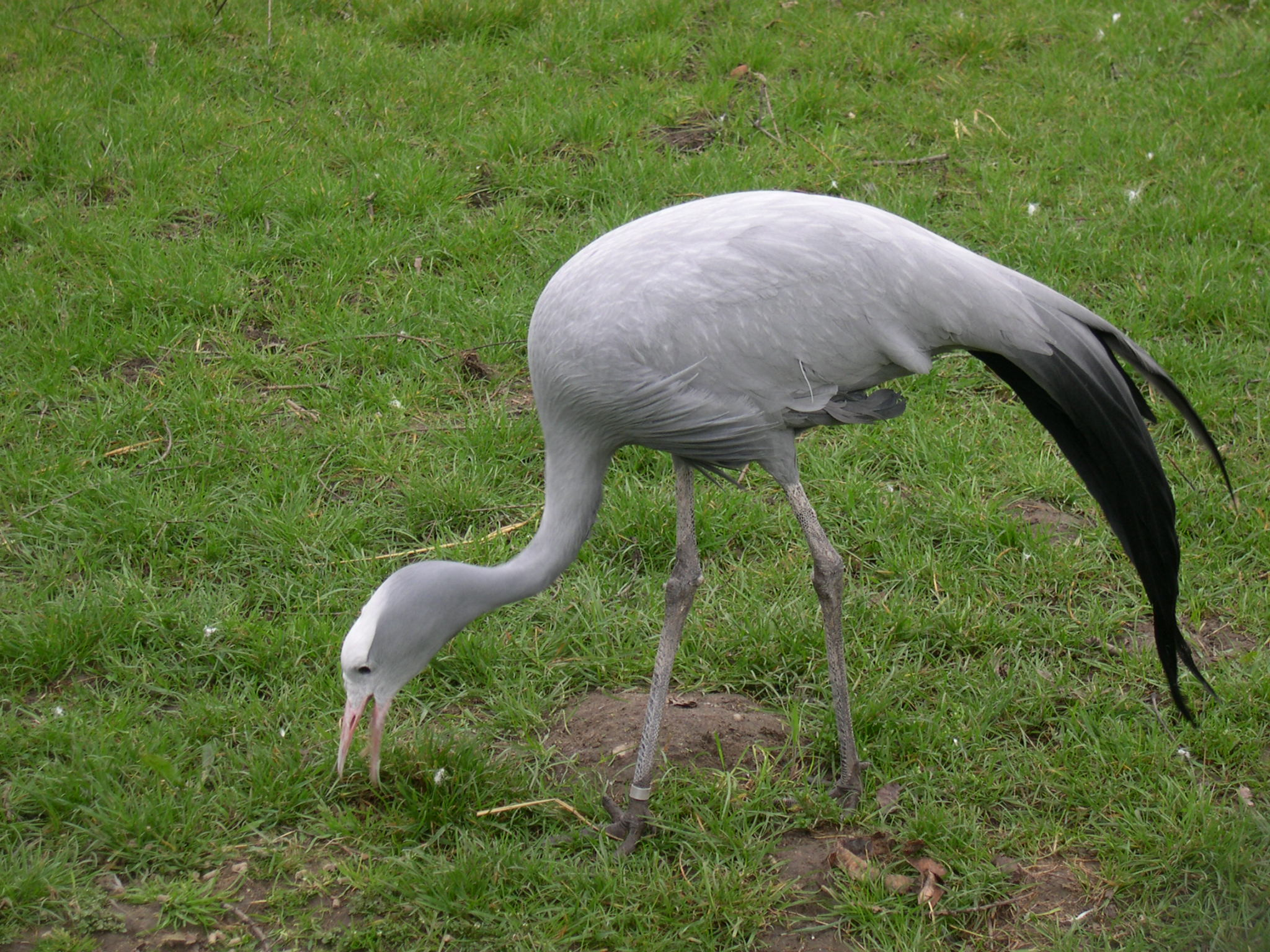 Blue crane (Anthropoides paradisea) feeding in Diergaarde Blijdorp (Rotterdam Zoo)