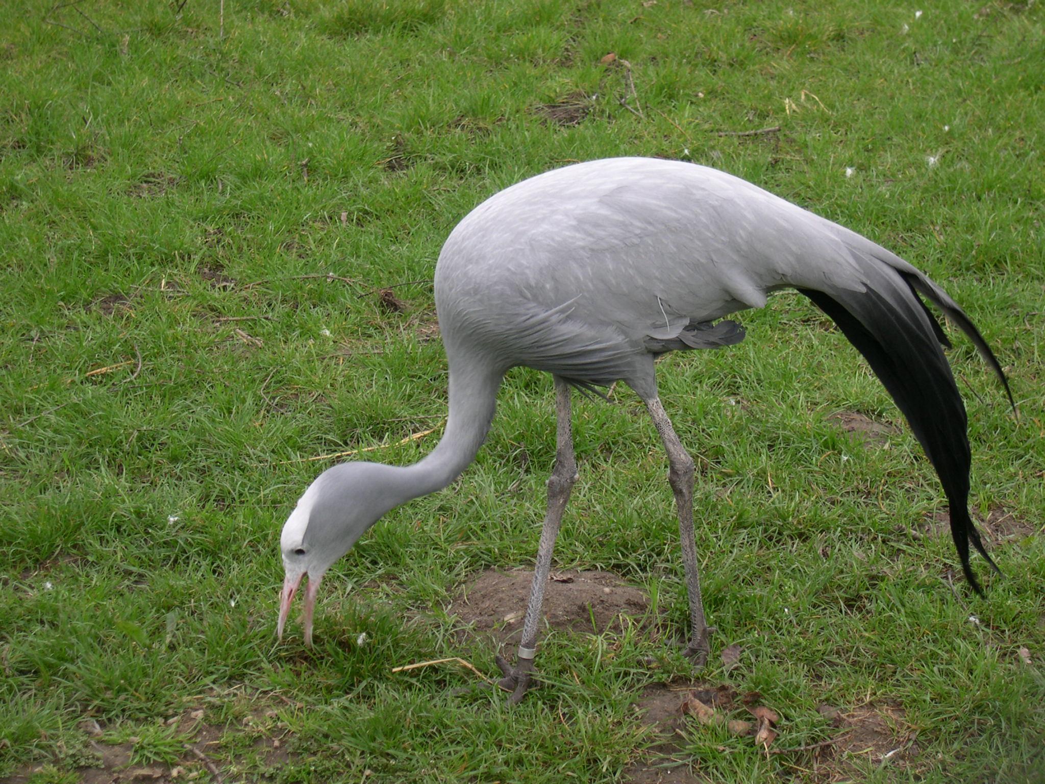 Blue crane (Anthropoides paradisea) feeding in Diergaarde Blijdorp (Rotterdam Zoo)