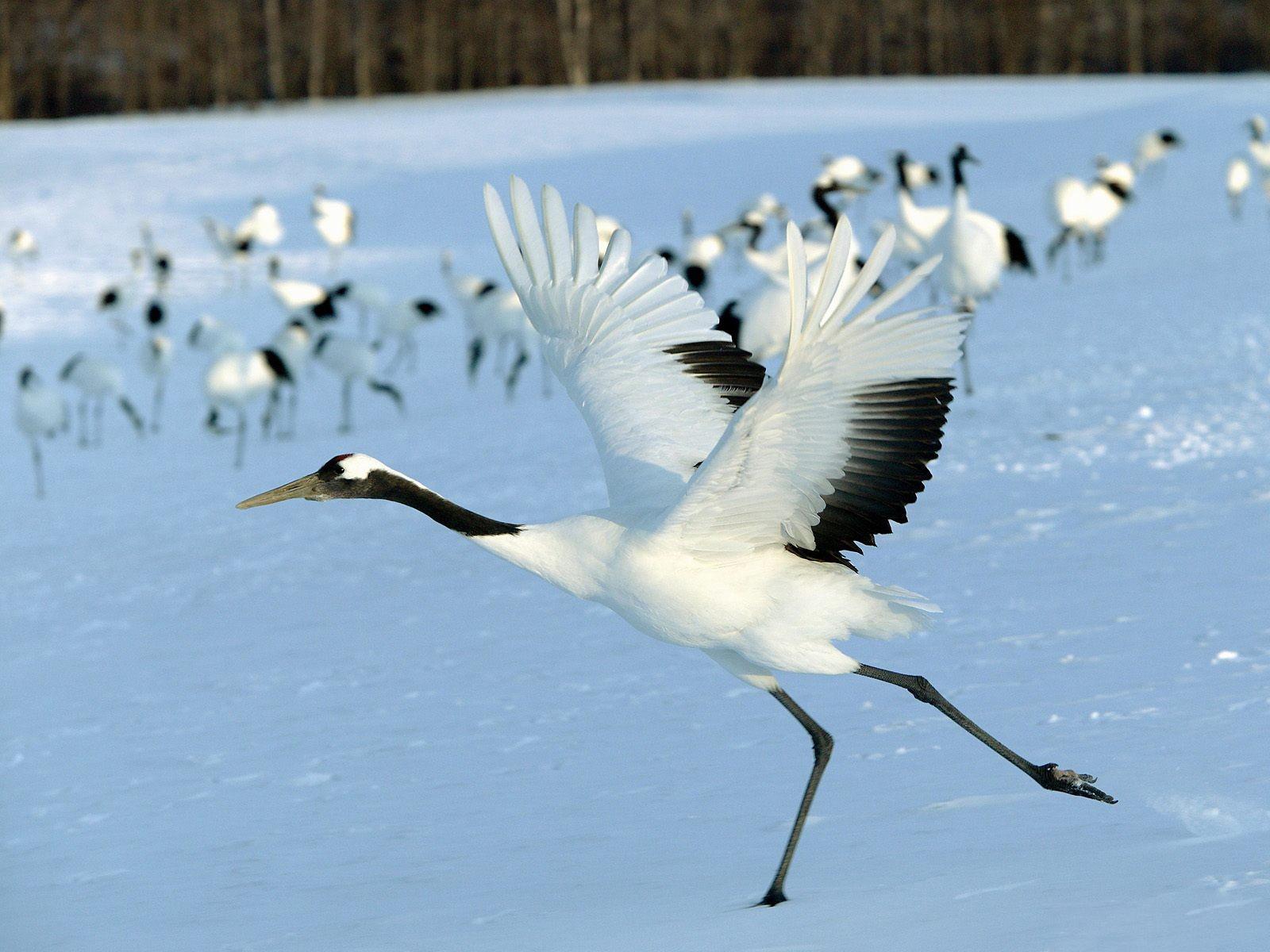 Birds cranes wildlife- Wallpaper 1600x1200