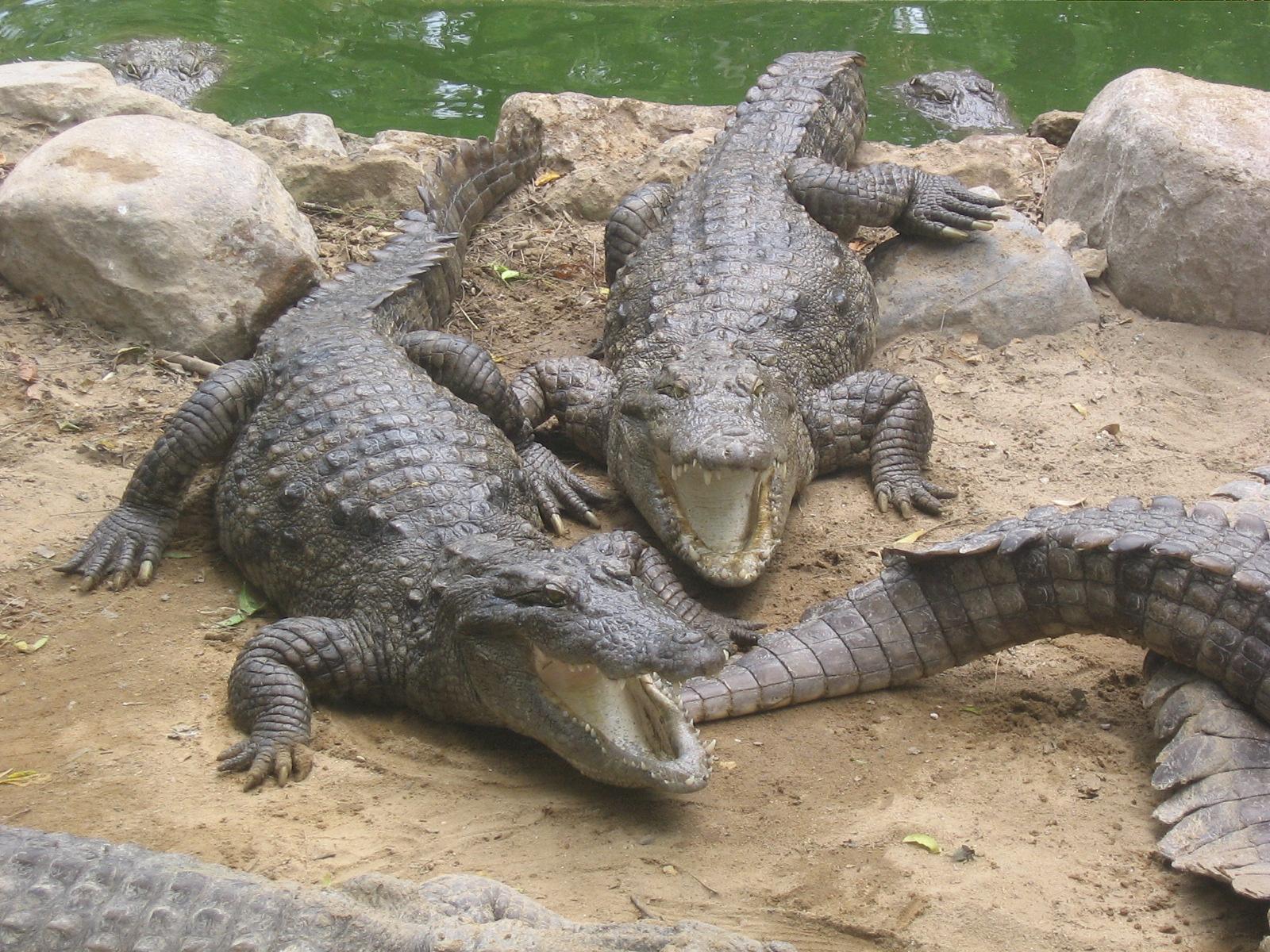 Marsh crocodiles in captivity in CrocBank