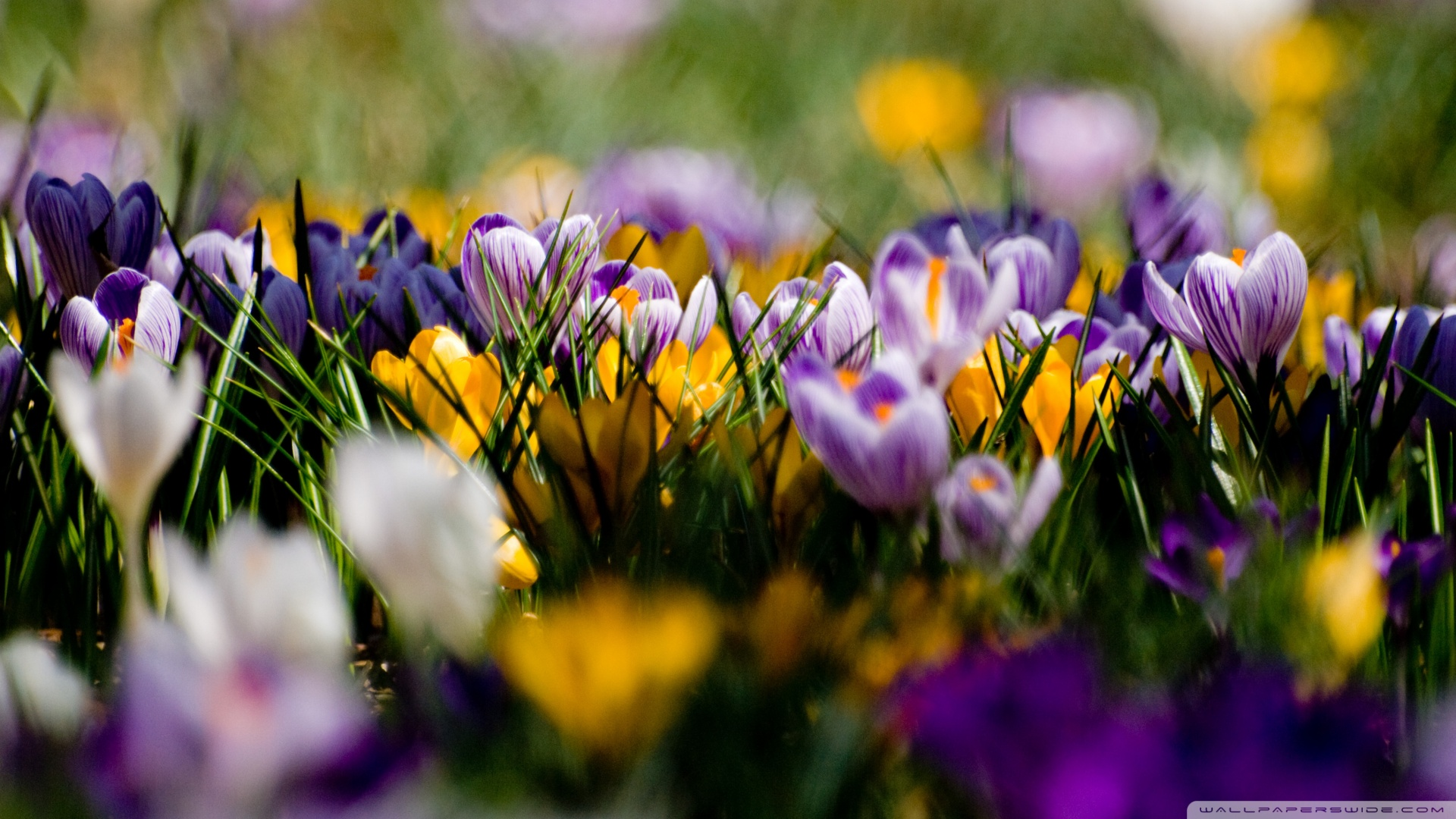 Wrong season (unless you live in the Southern hemisphere) but lots of crocus-color newertheless