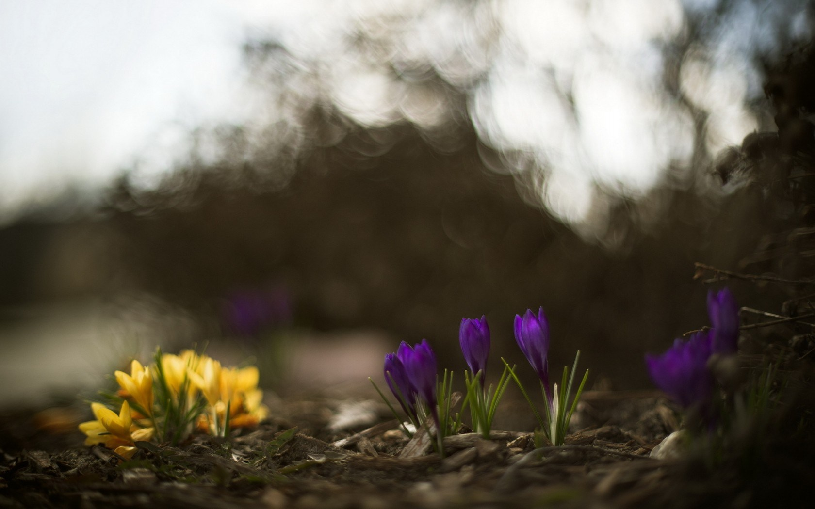 Crocus Flowers Spring Nature