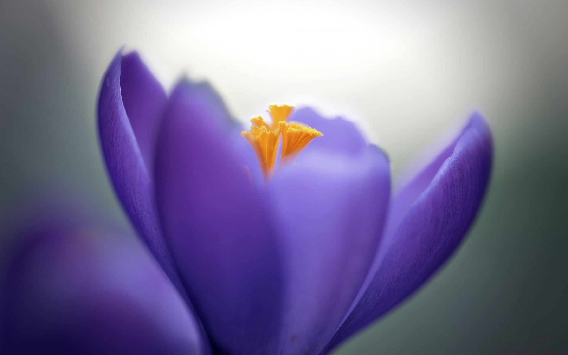 Crocus Lilac Flower Close-Up