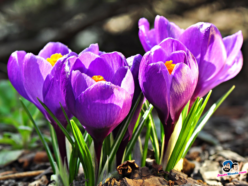 Crocuses 1024x768 Wallpaper # 6