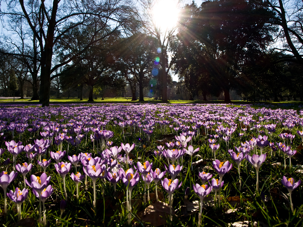Crocuses Field