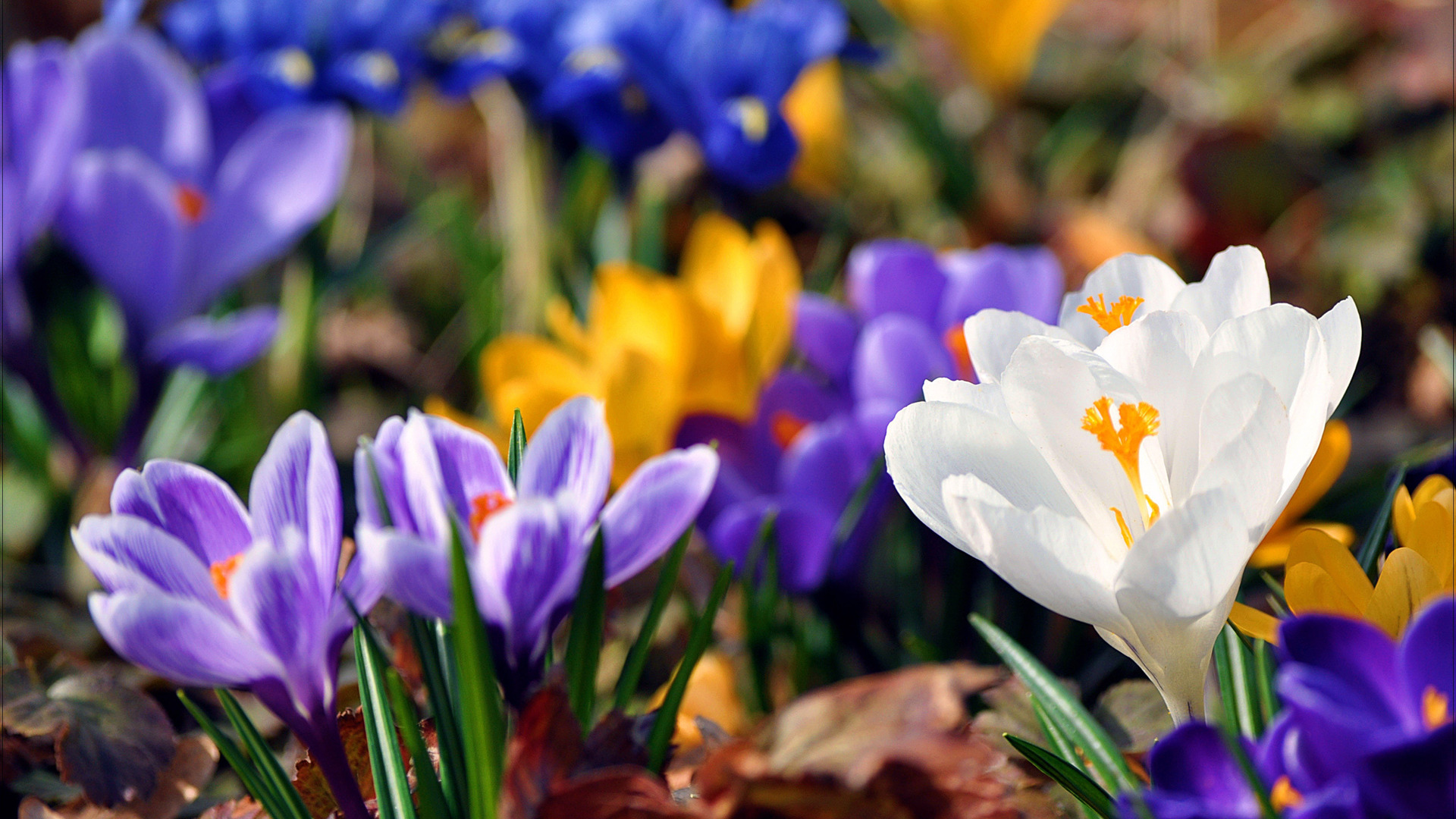 Beautiful Crocus Wallpaper 556