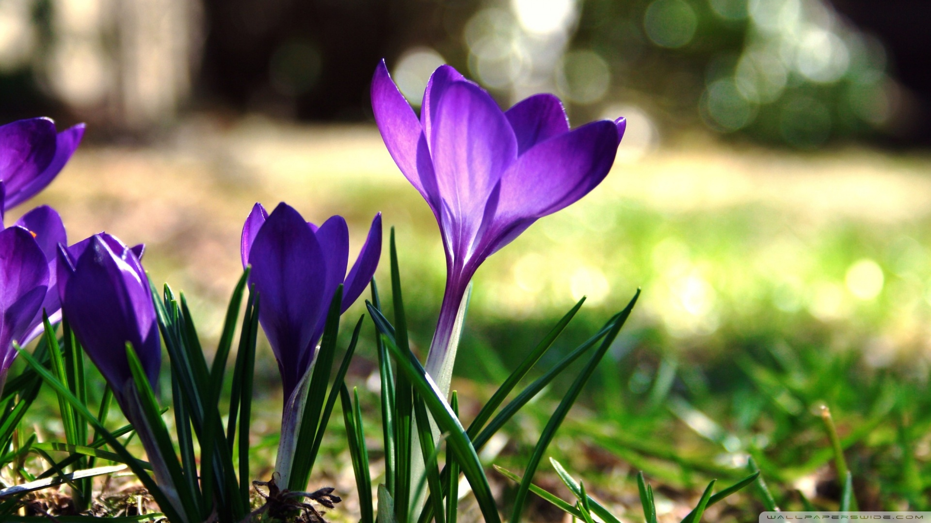 Crocuses Wallpaper HD
