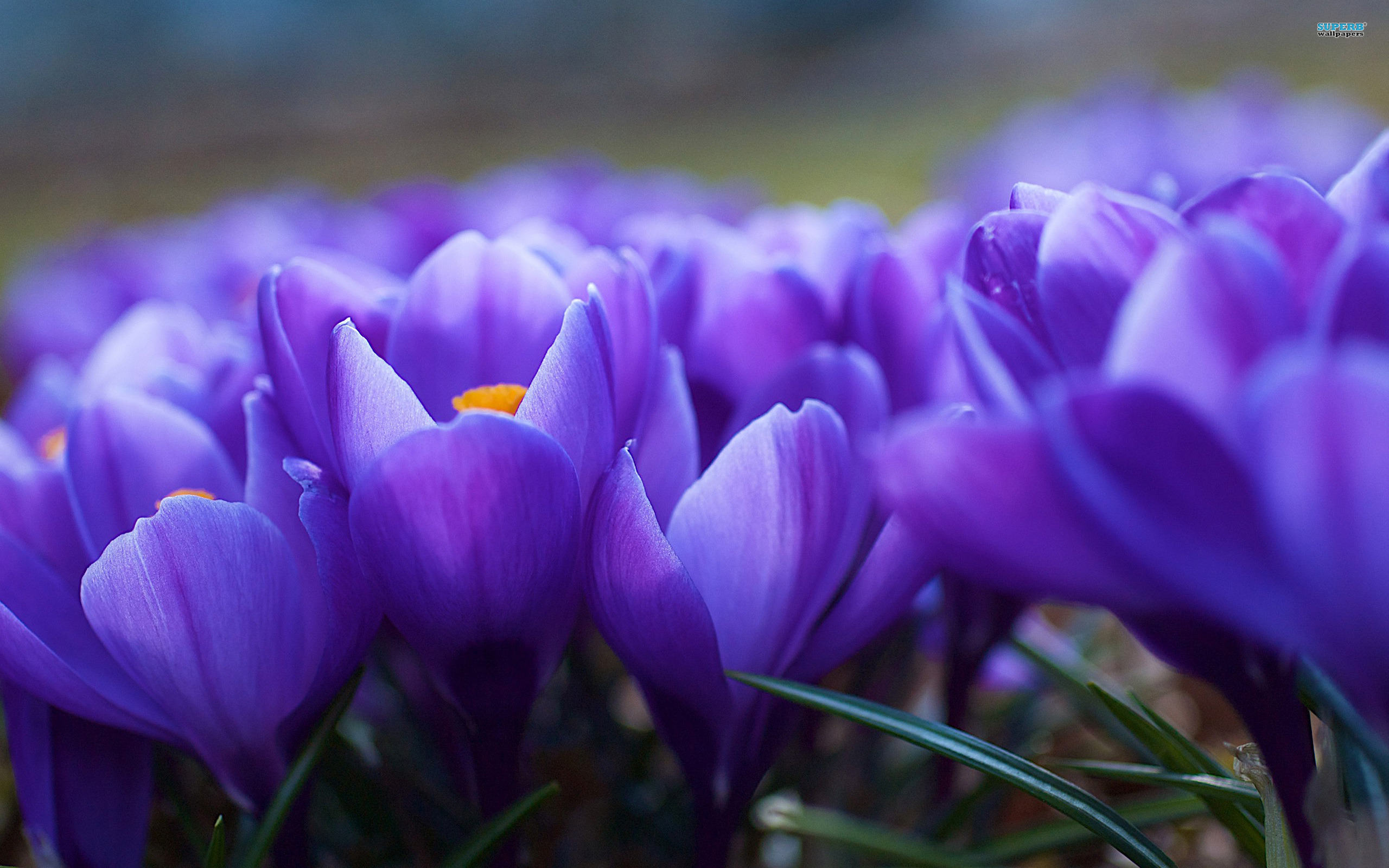 Crocus wallpaper 2560x1600